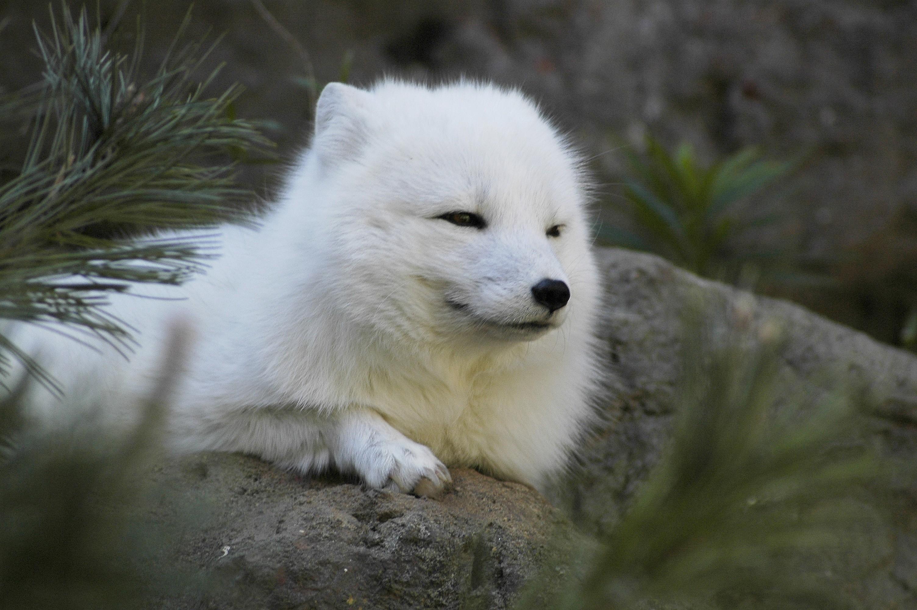 Картинки волка белого