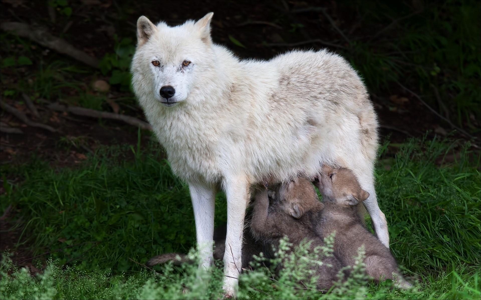 фото белая волчица