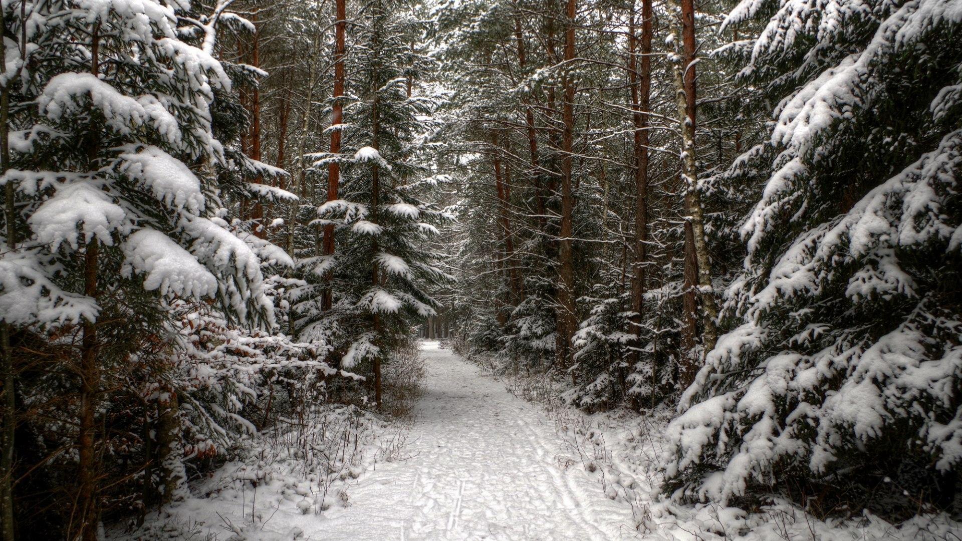 Хвойный лес зимой картинка