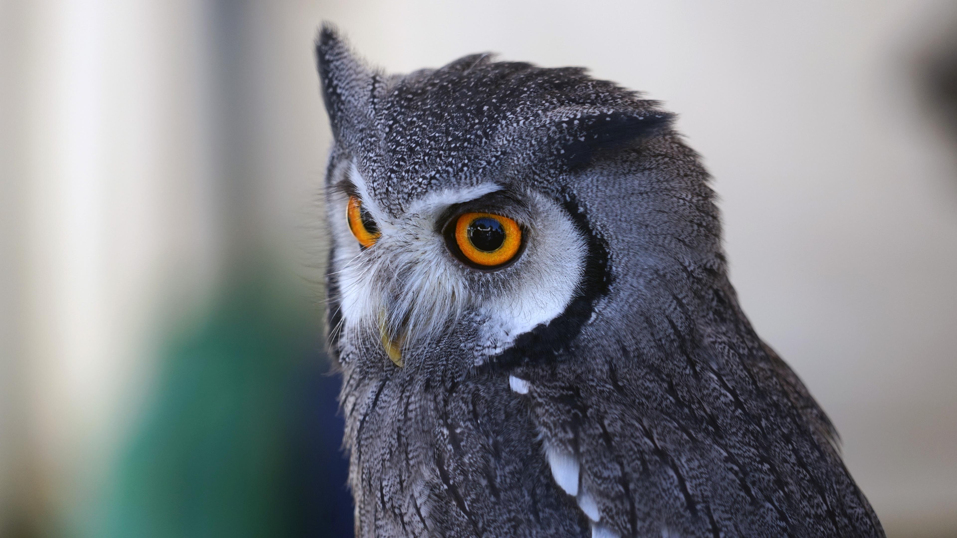 Большая серая сова с большими желтыми глазами - обои для ...