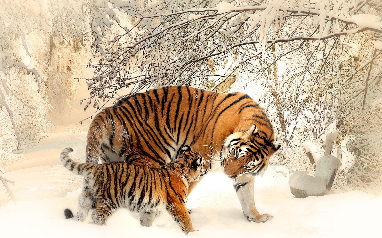 Широкоформатные обои для рабочего стола тигров