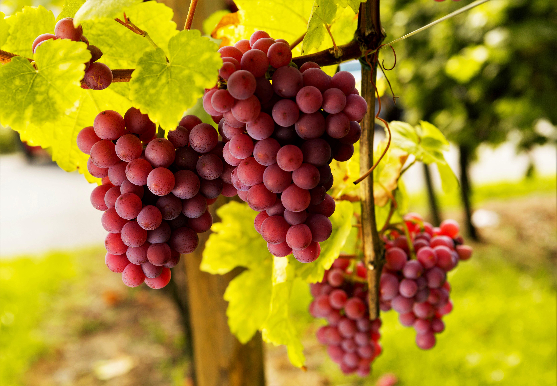 медленному виноград красивые картинки простой дешевый рецепт