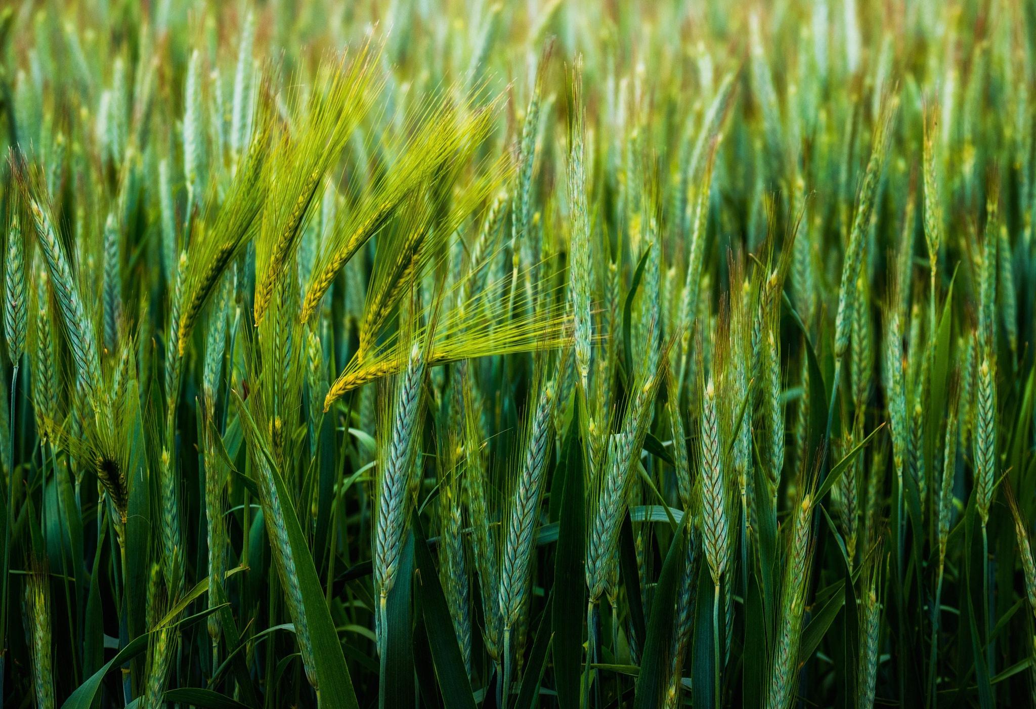Фото колосящейся пшеницы