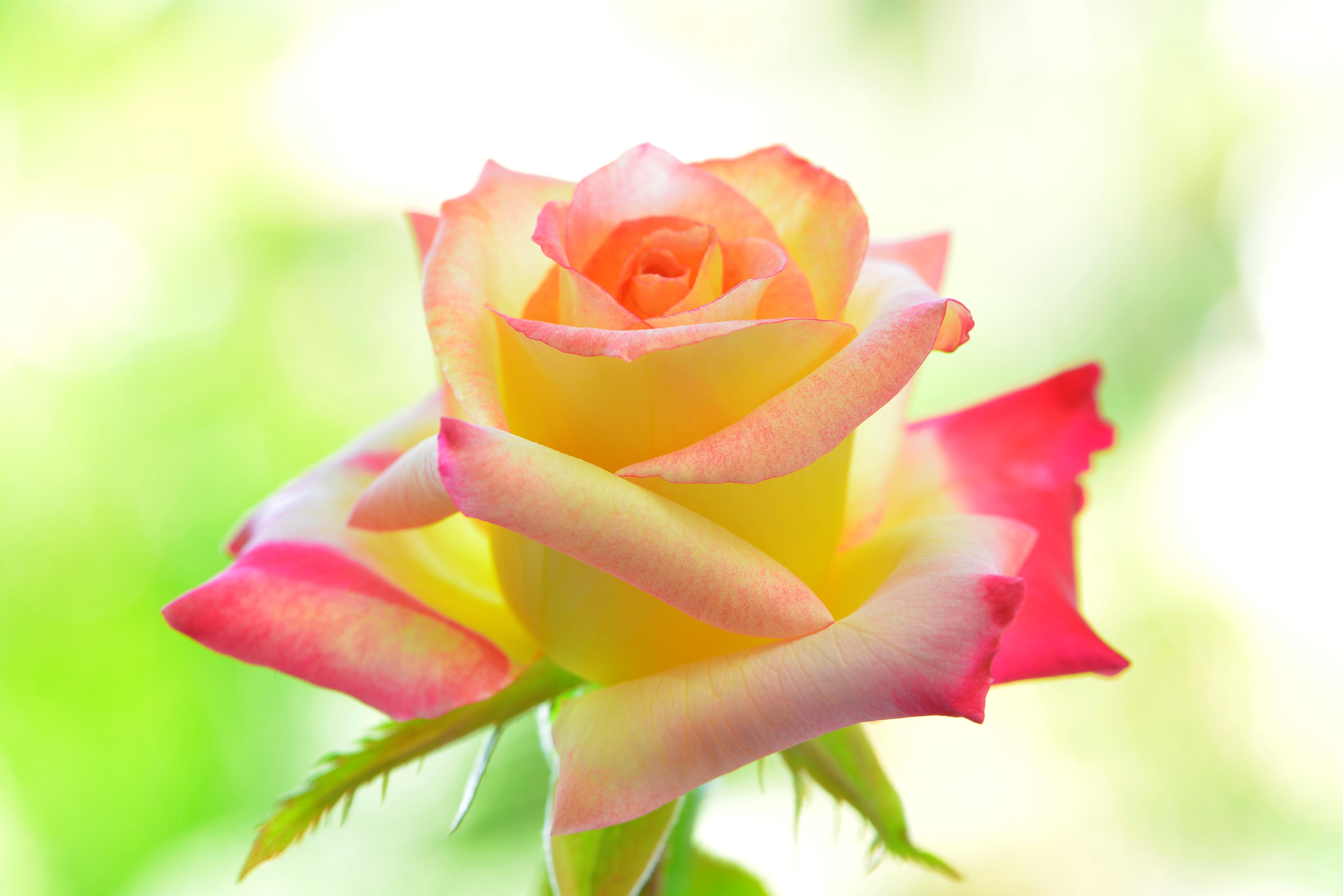 были желто-розовые розы картинки такую