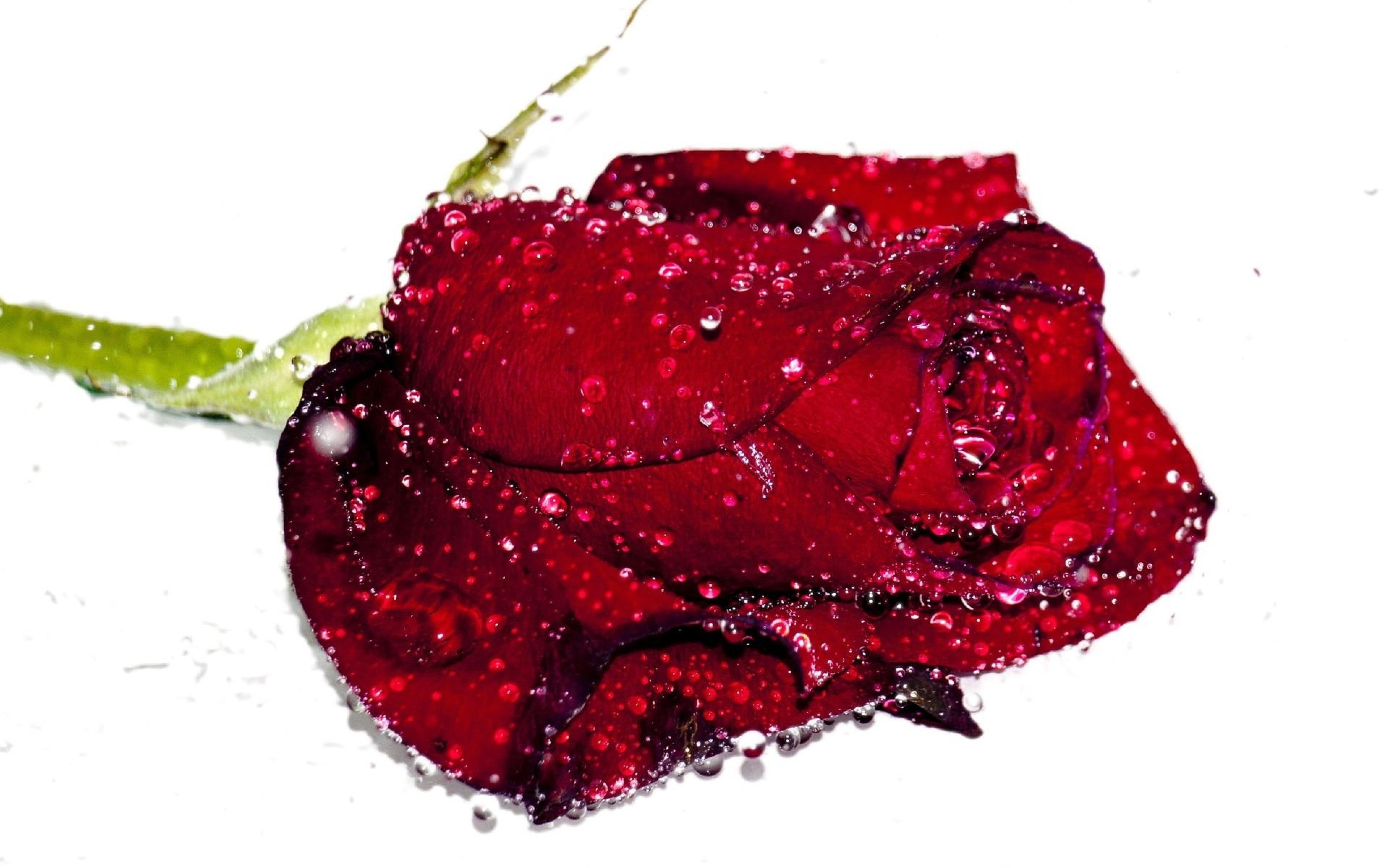 картинки красных роз на каплях воды этом голова наклоняется