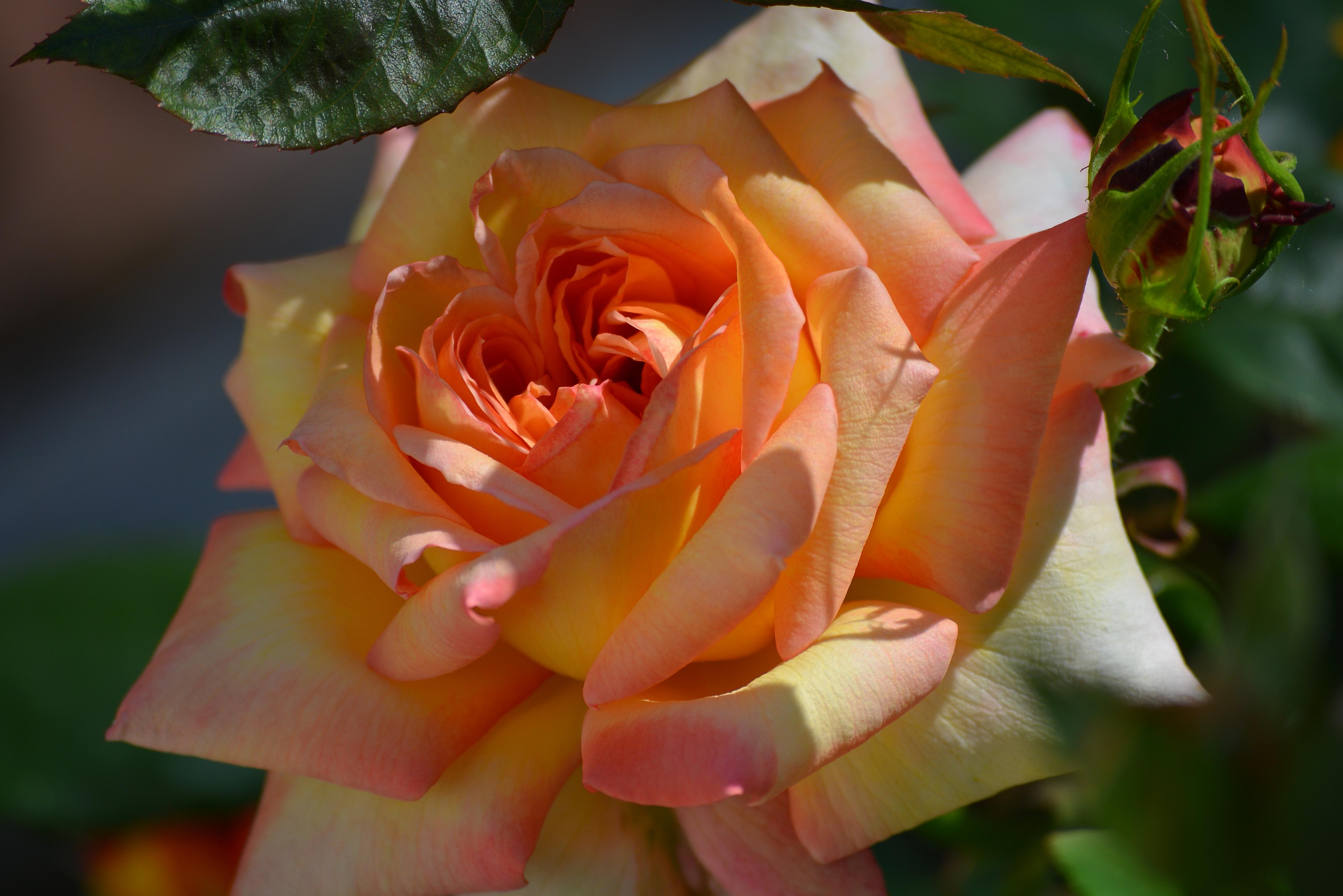 лайка хозяином лучшие розы мира картинки свою