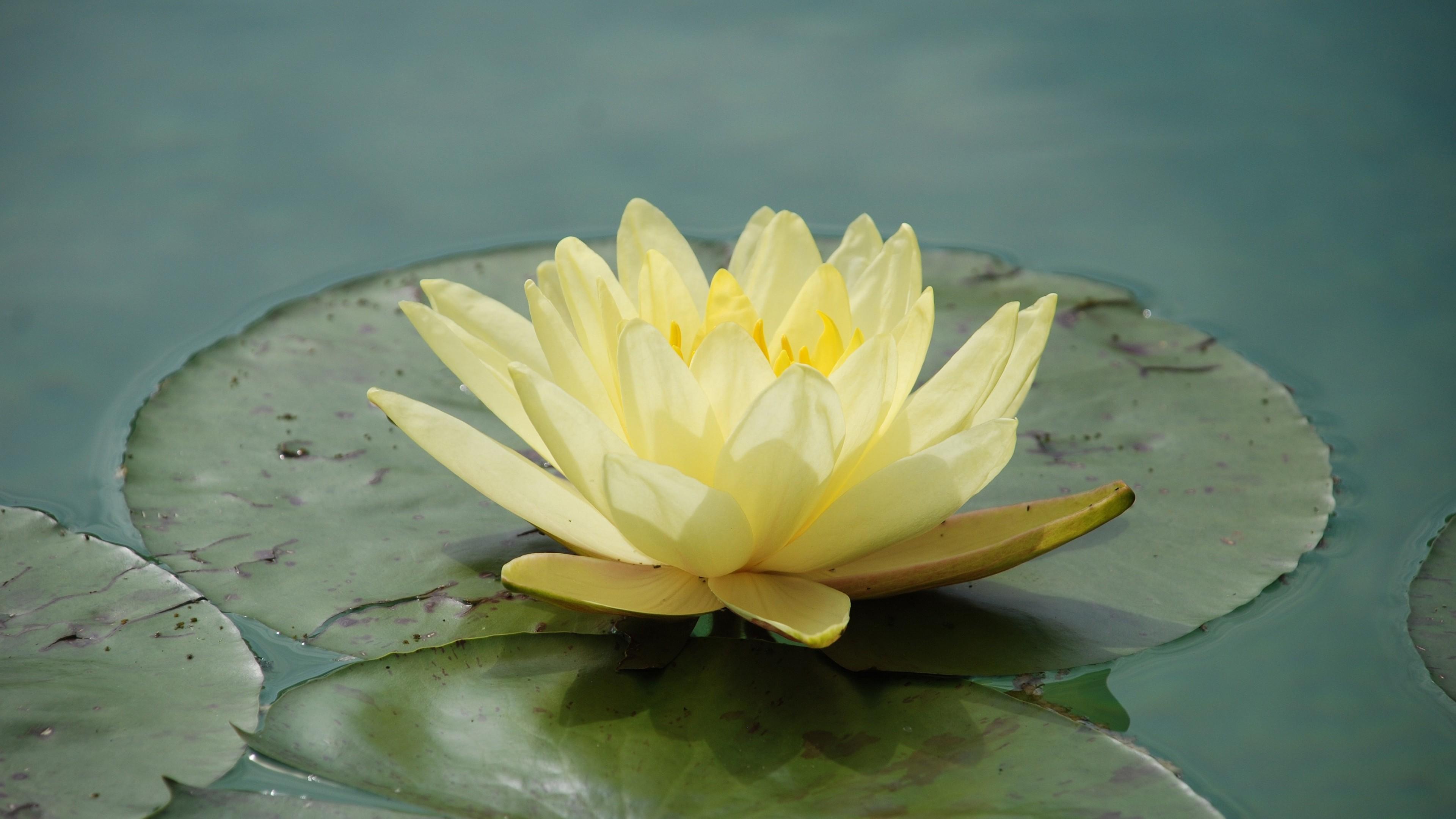 водяная лилия в картинках красивые