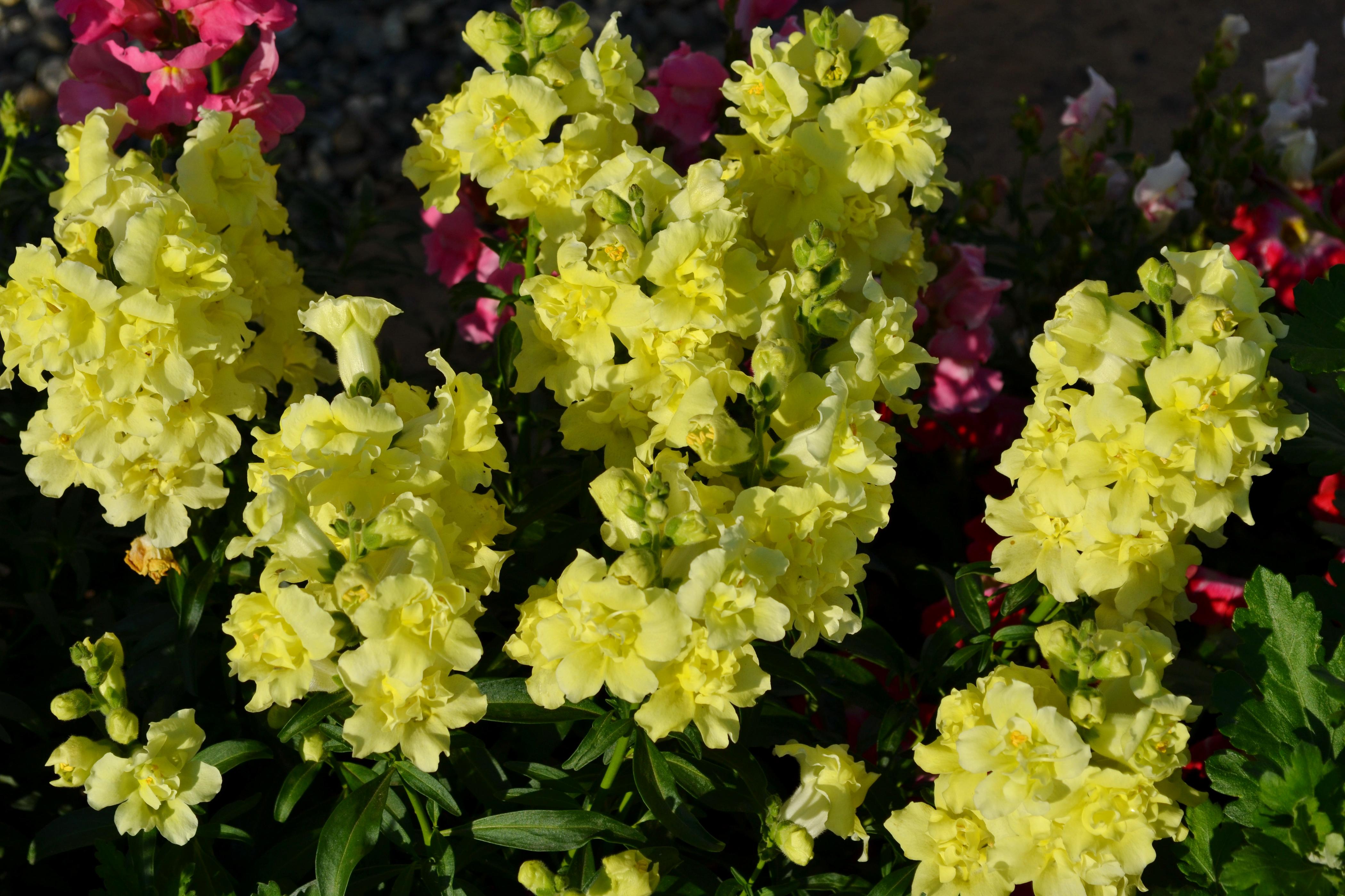 Цветок львиный зев махровый фото