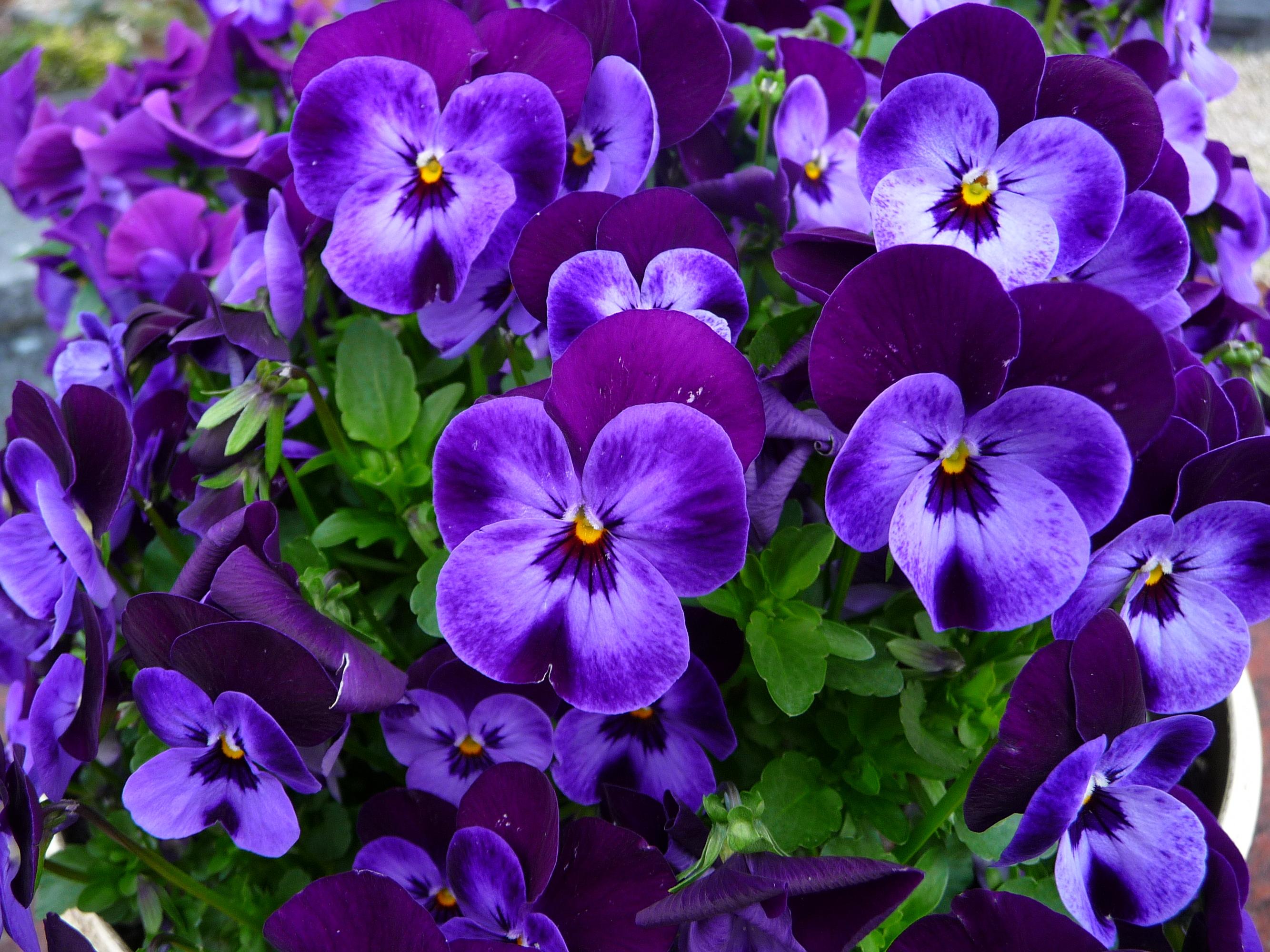 цветы фиалки фото красивые совершенно относятся человеку