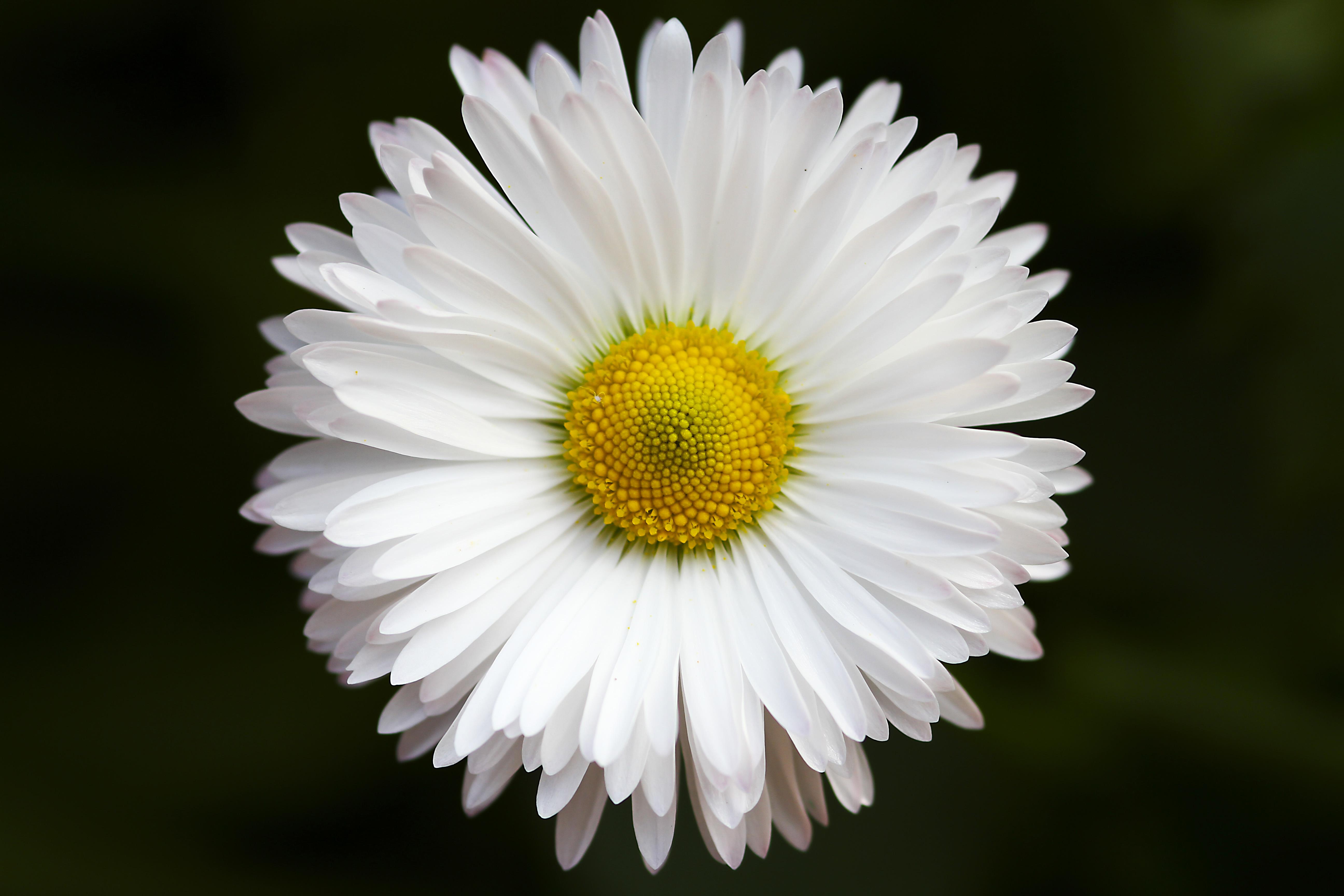 Белая ромашка цветы картинка