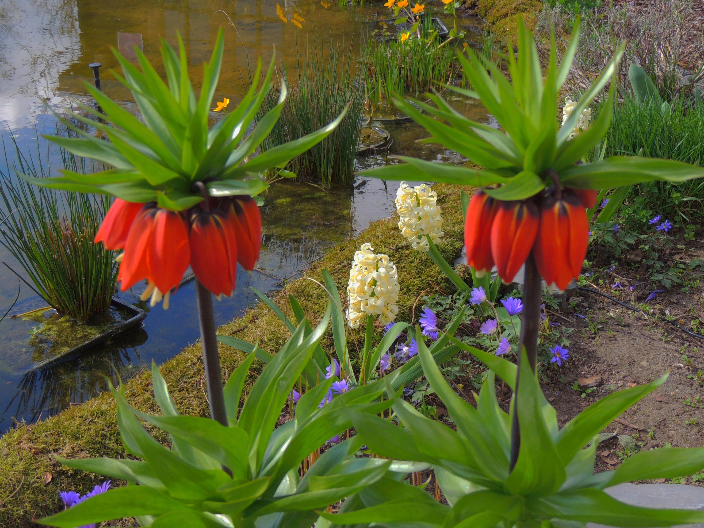 Рябчики императорский цветы 7