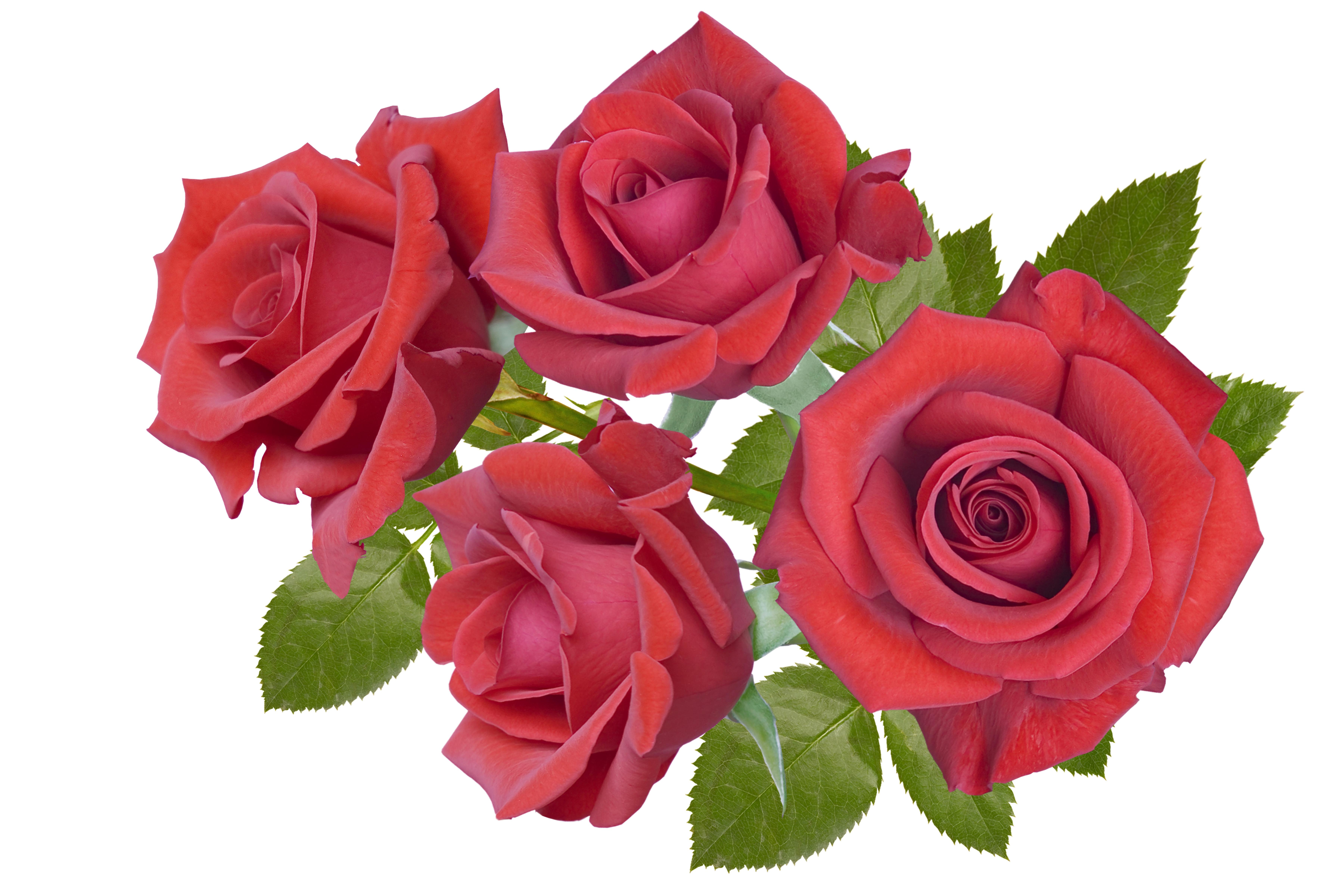 Цветы розы картинки на белом фоне