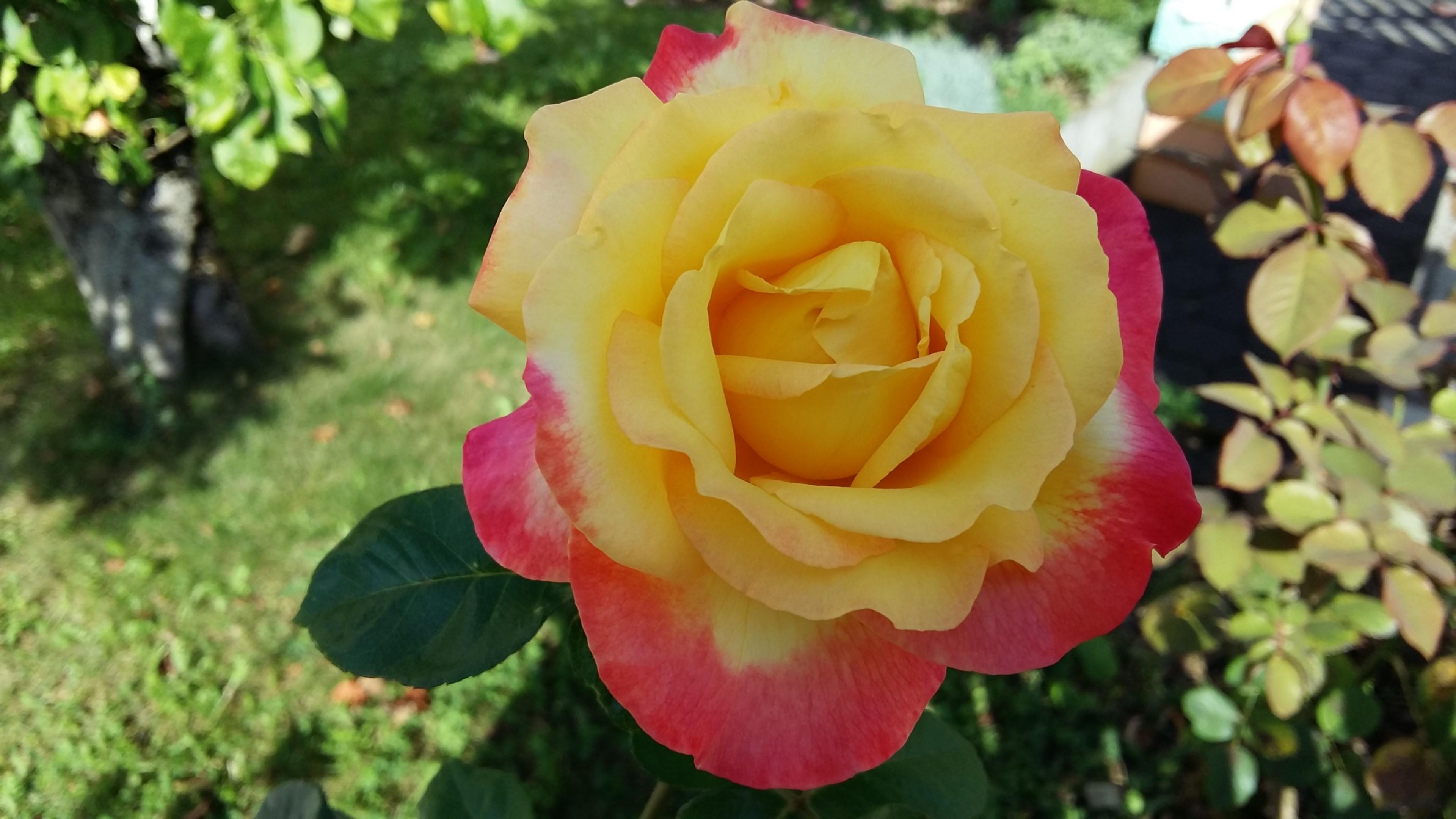 Цветы садовые сорта роз фото