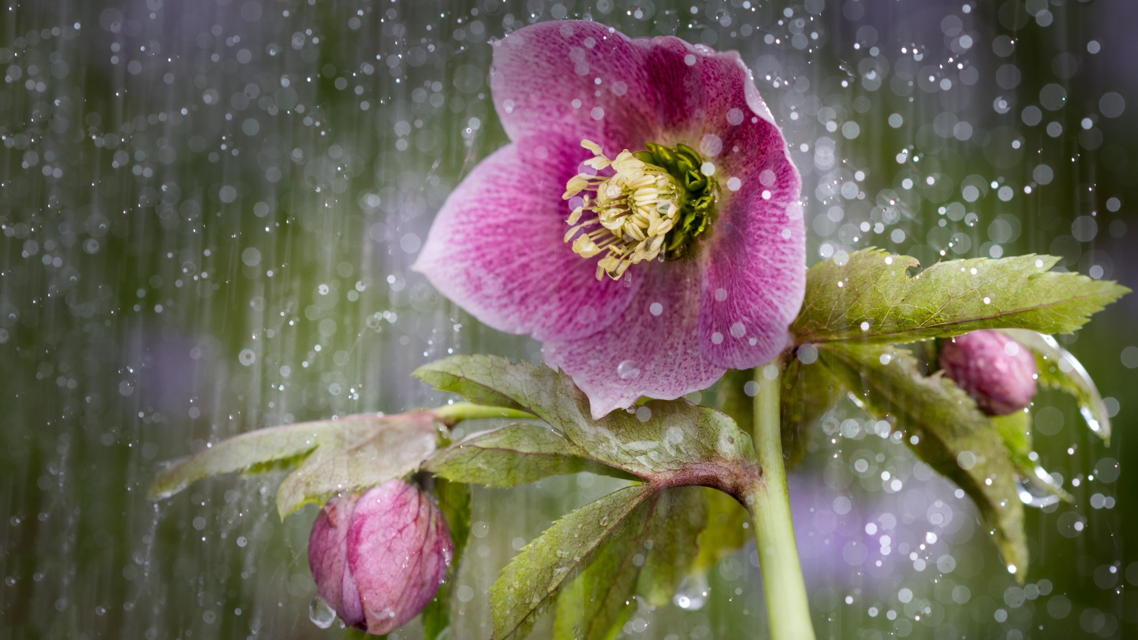 цвет под дождем картинка растение любит