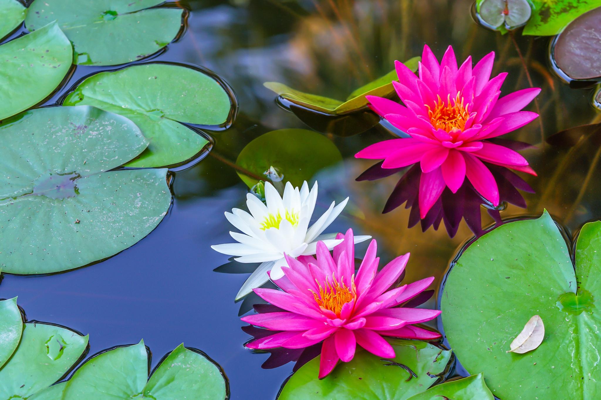 цветы водяная лилия фото картинки родилась