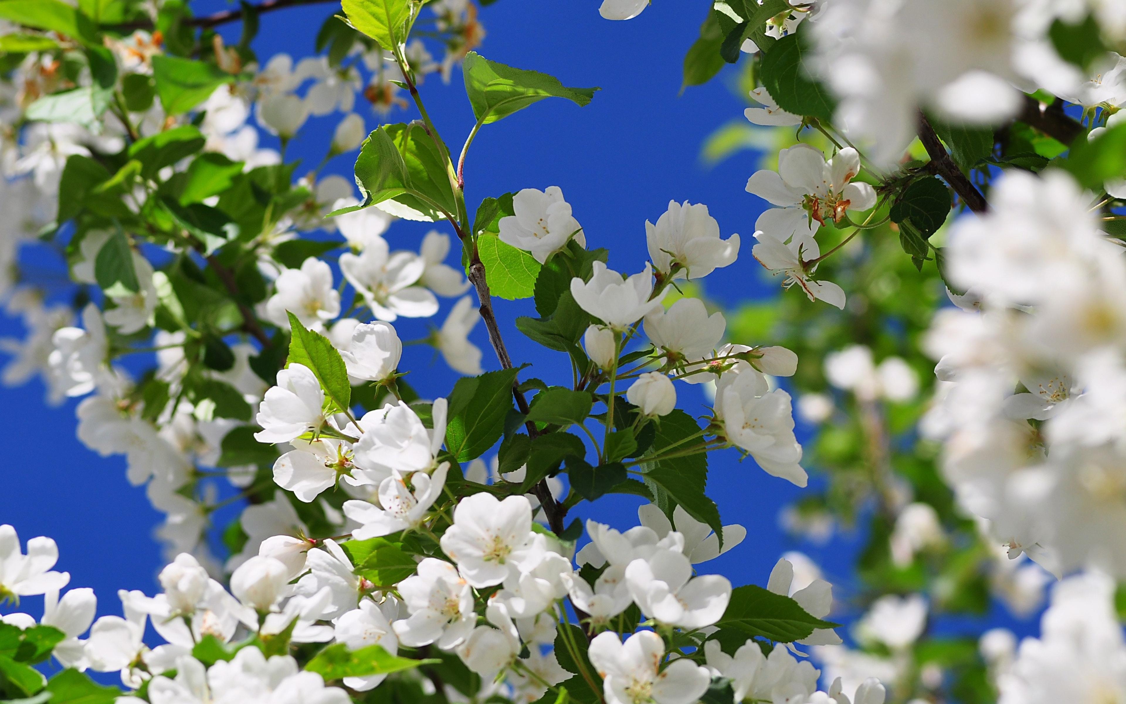 Картинки цветущая яблоня на рабочий стол, свадебная