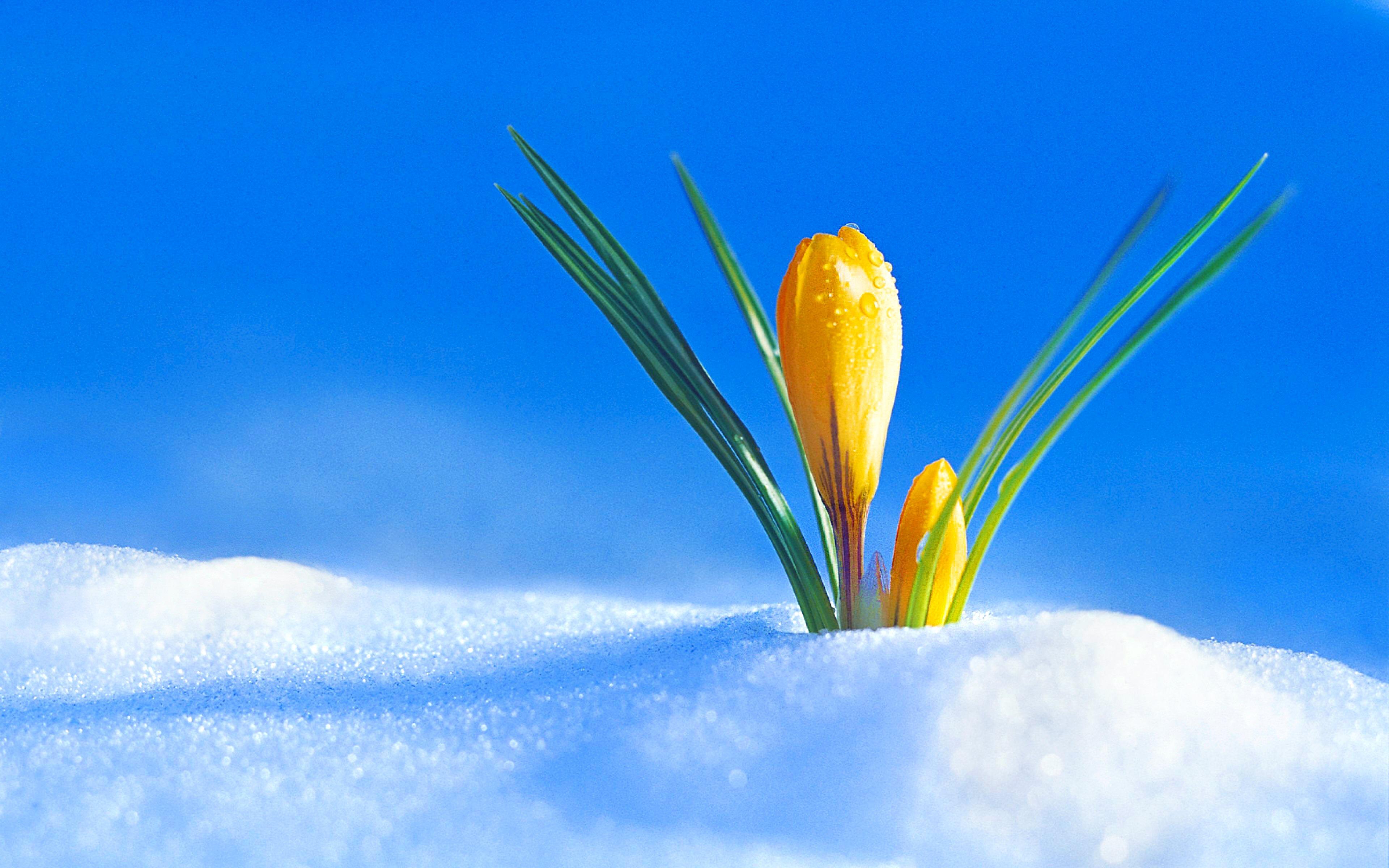 обои подснежники в снегу на рабочий стол поездки следующий