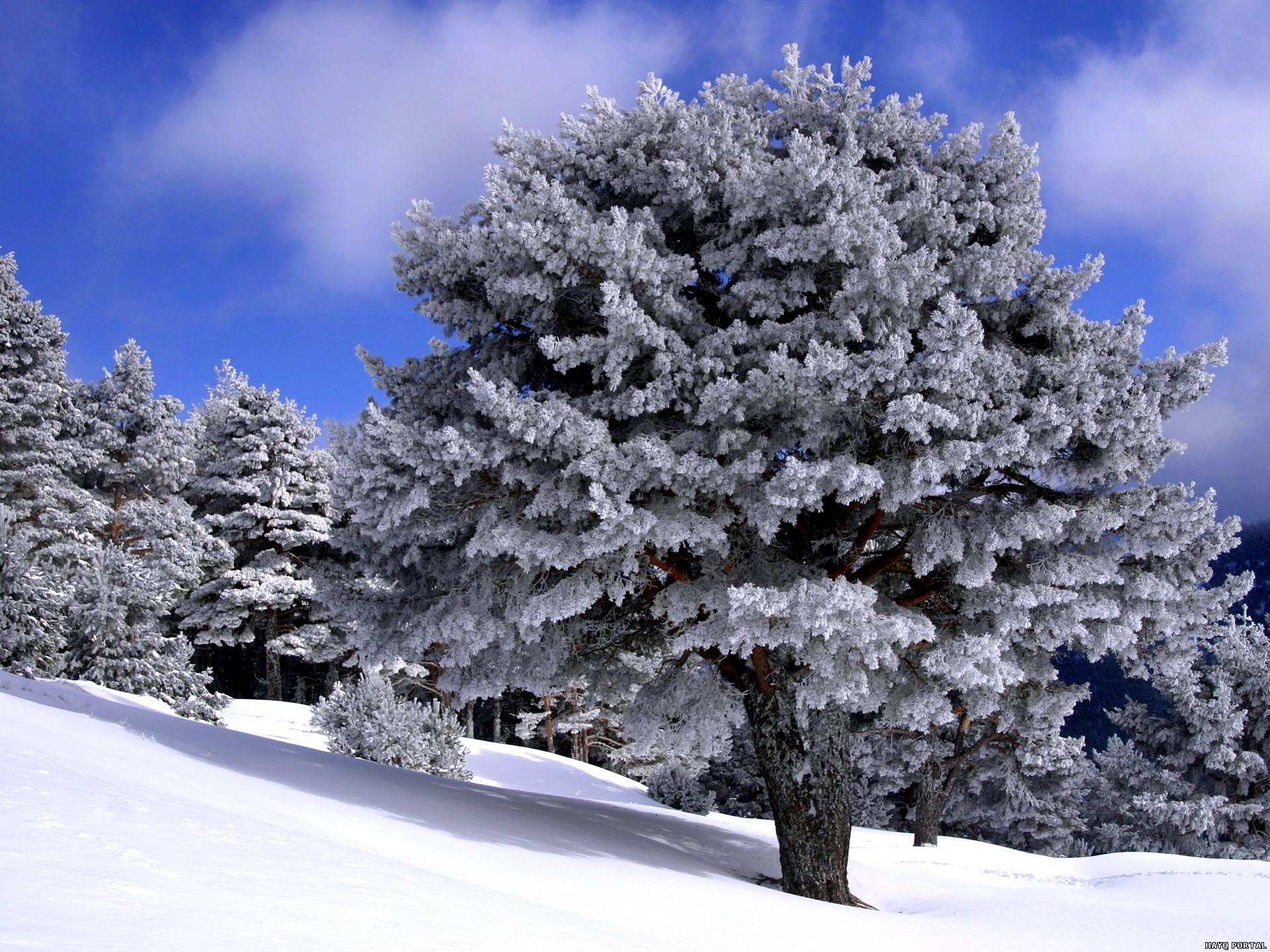 Открытки, картинки деревья в снегу зима