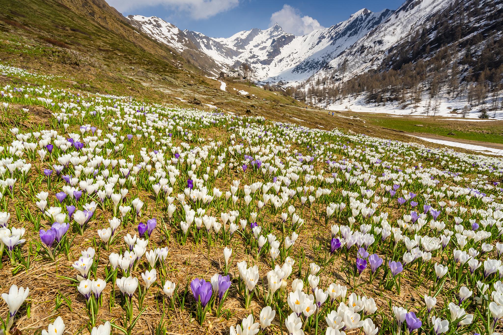пора цветения крокусов фотогалерея сорта