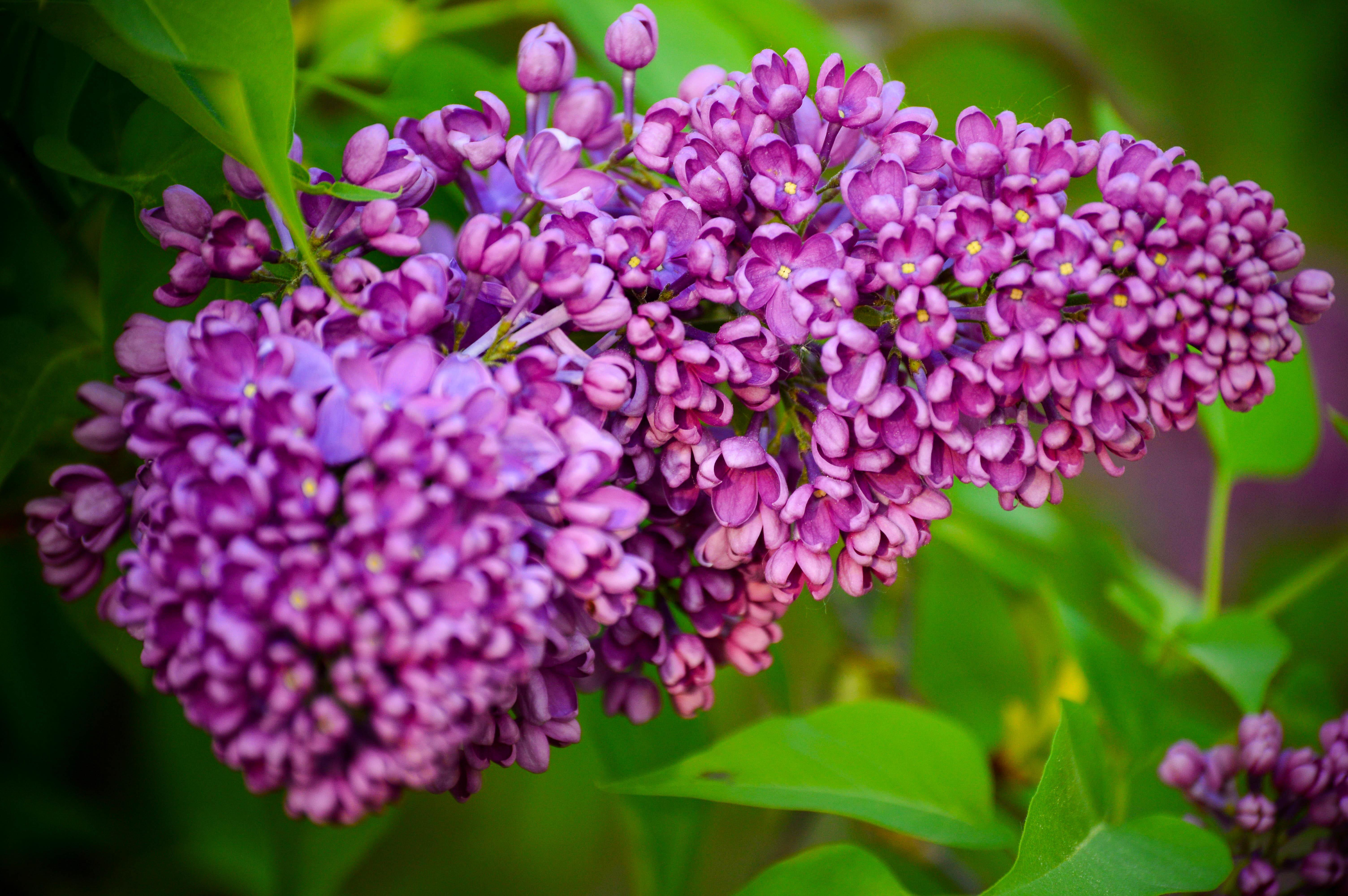 фотографии цветы сирень услугам гостей