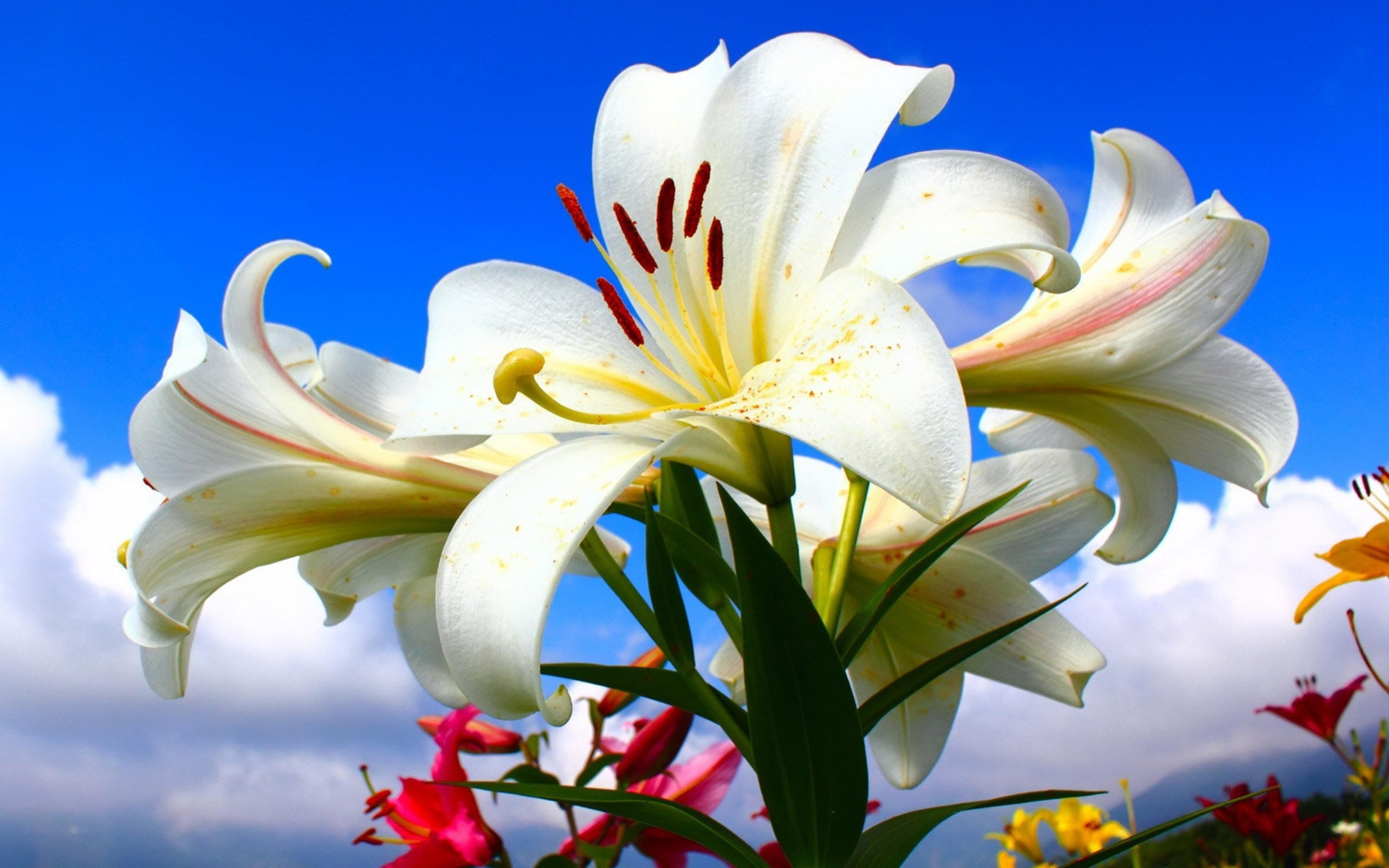Белые лилии картинки красивые, картинки прикольные как