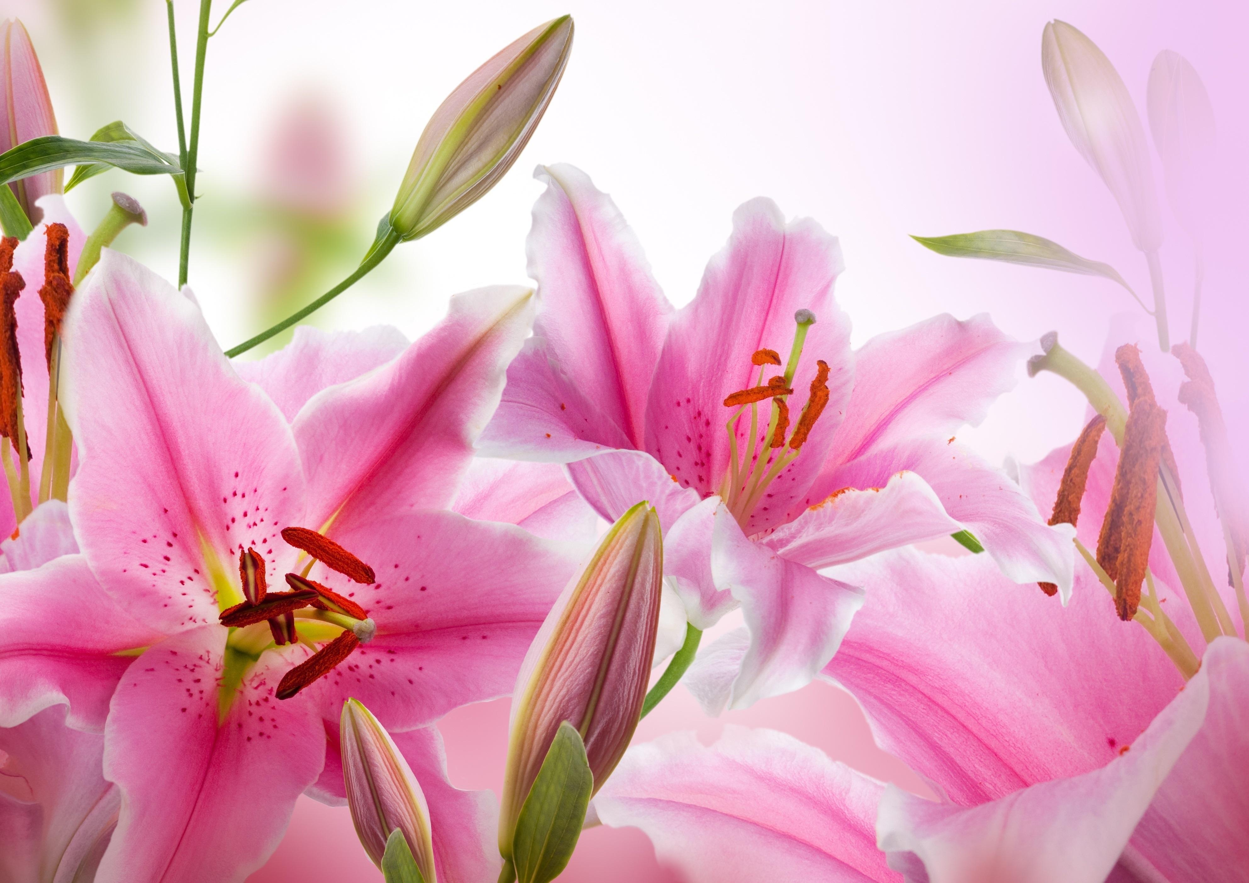 Гифки, фон лилии для открытки