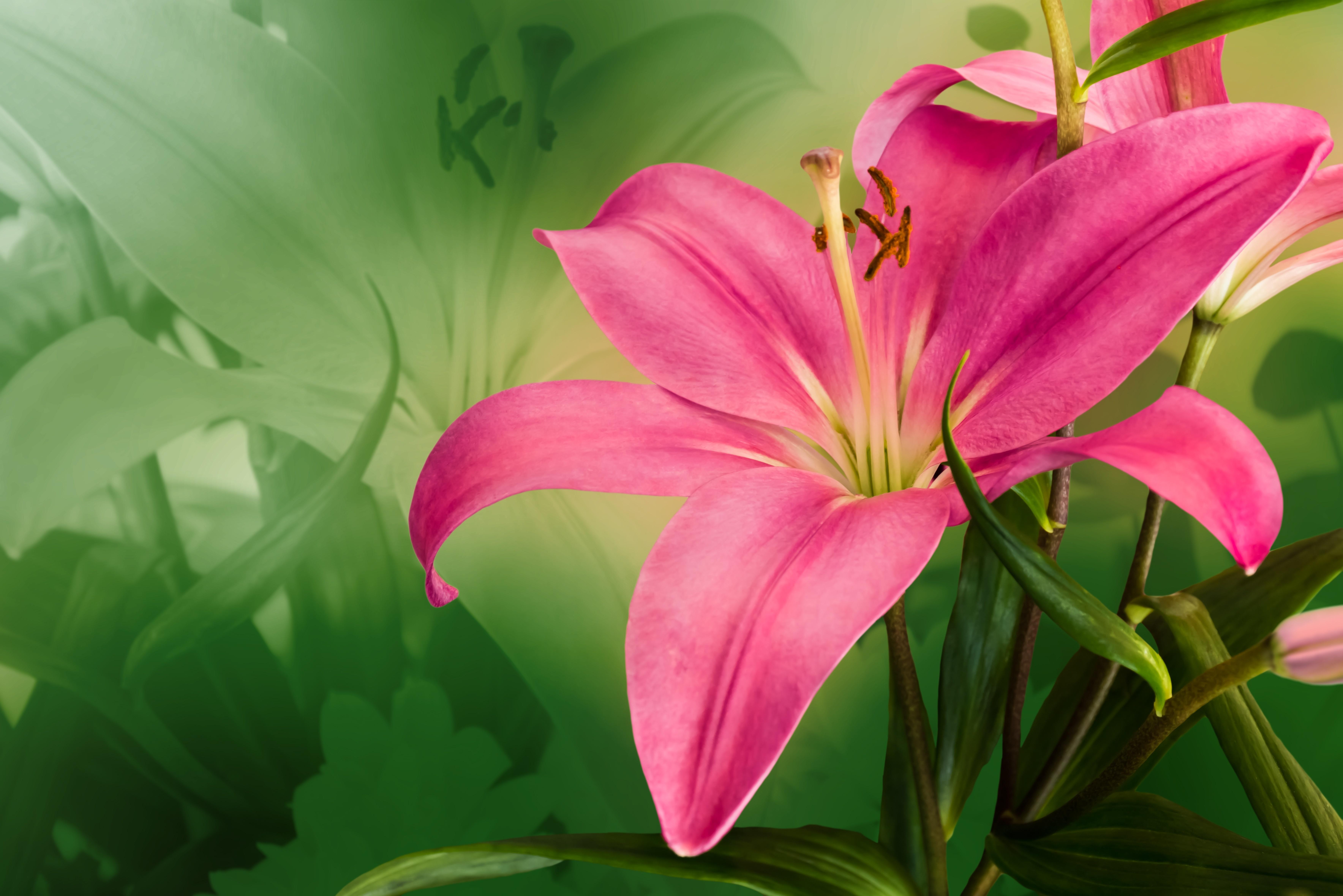 Фото цветы лилии очень красивые, зарубежные