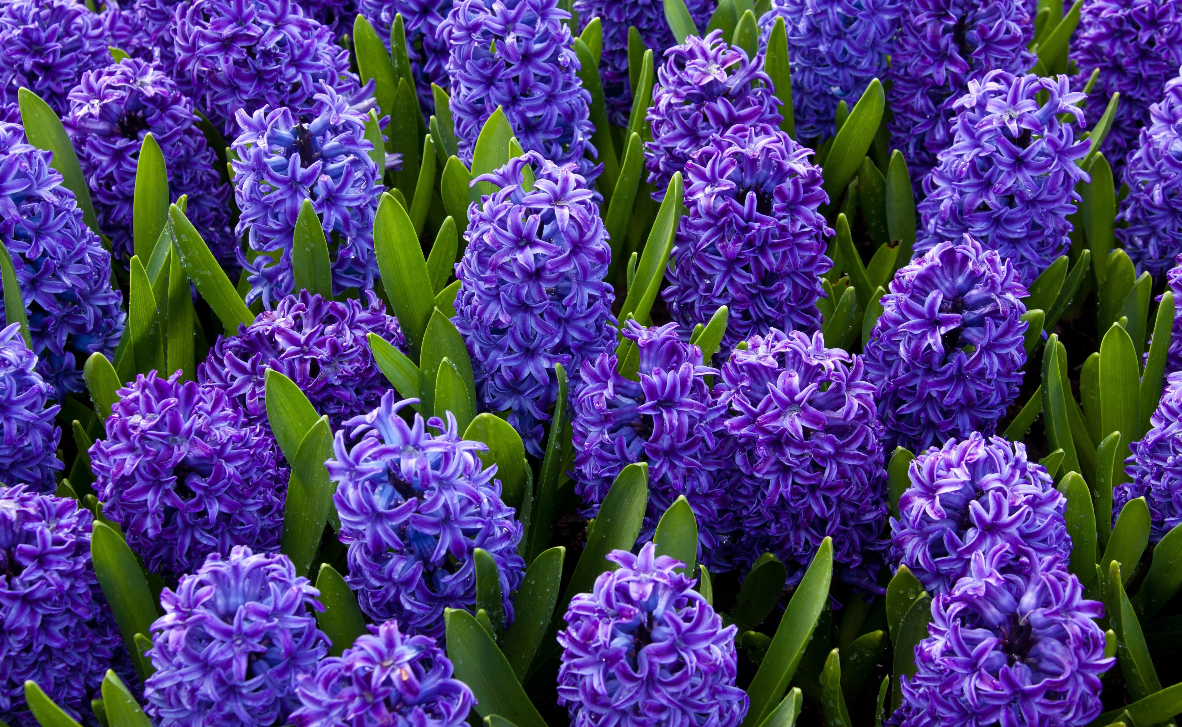 Фото и название фиолетовых садовых цветов