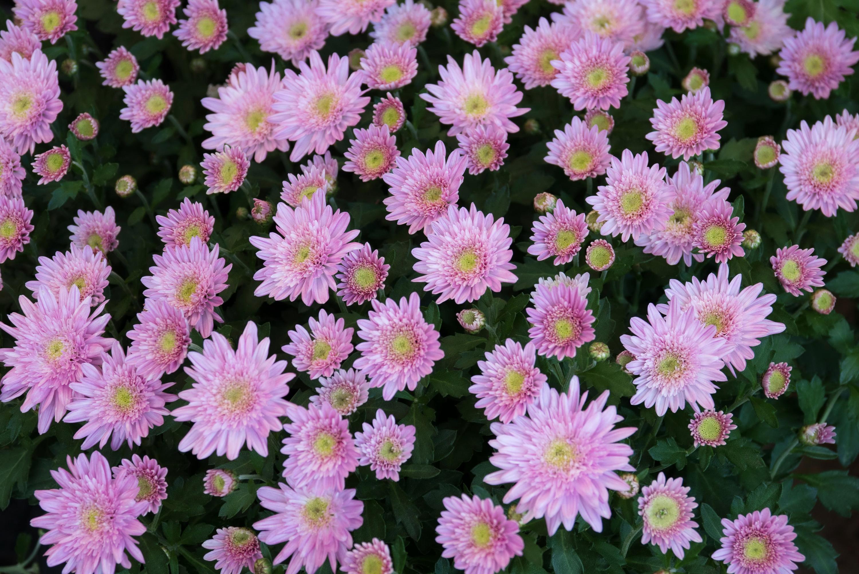 Хризантемы бледно розовые с белым фото