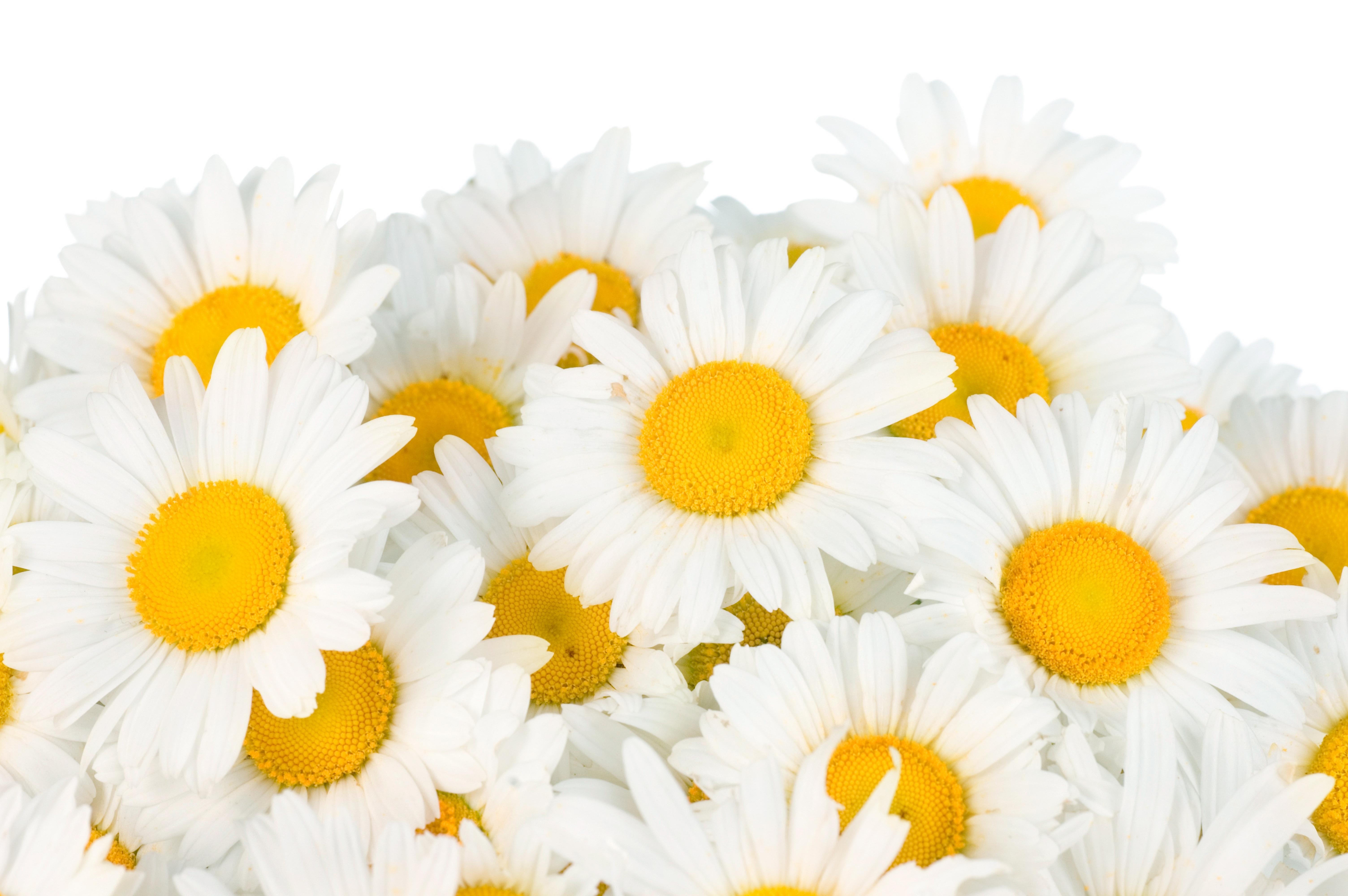 Открытки цветов ромашка, днем рождения