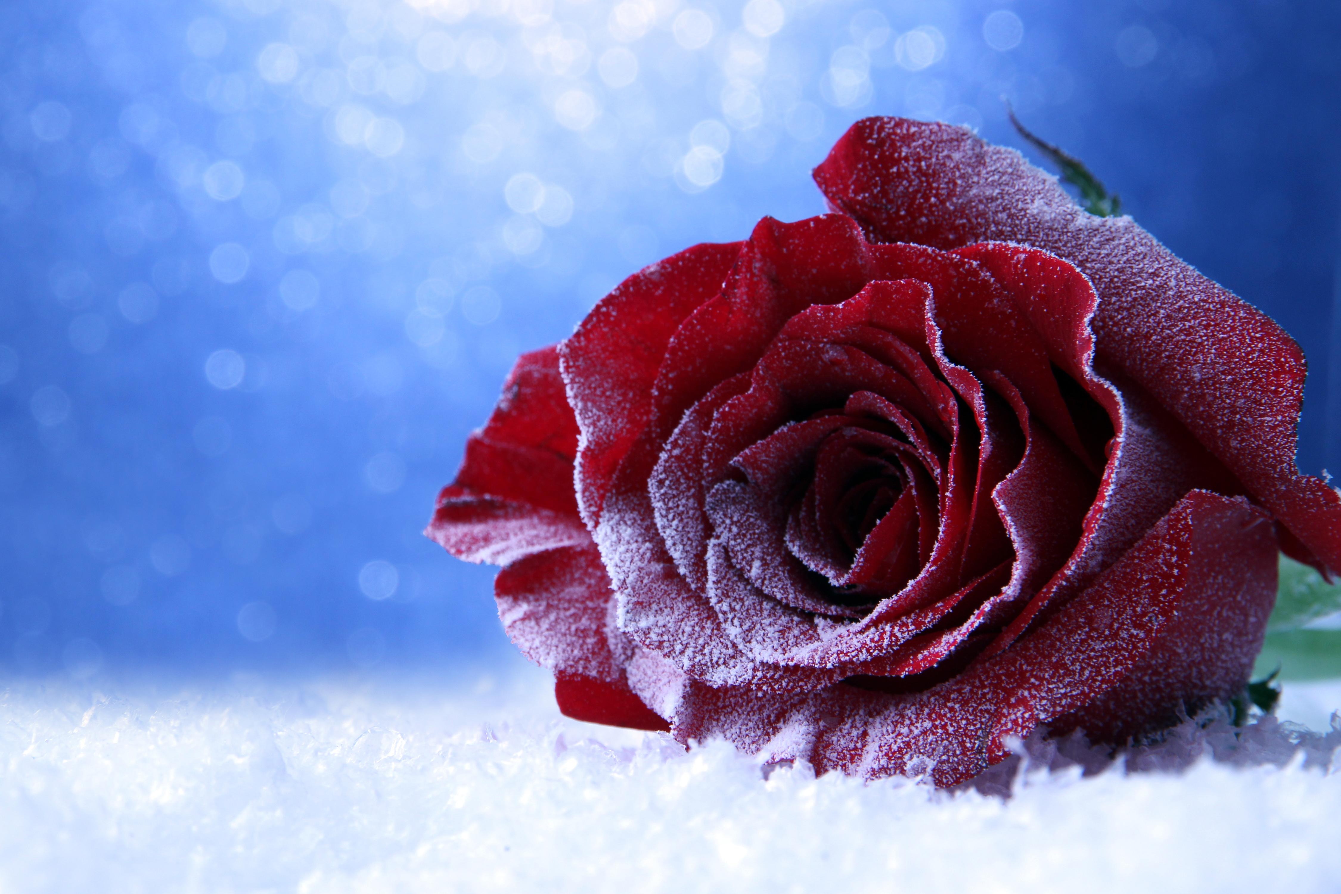 Картинка розы на снегу, открытка днем