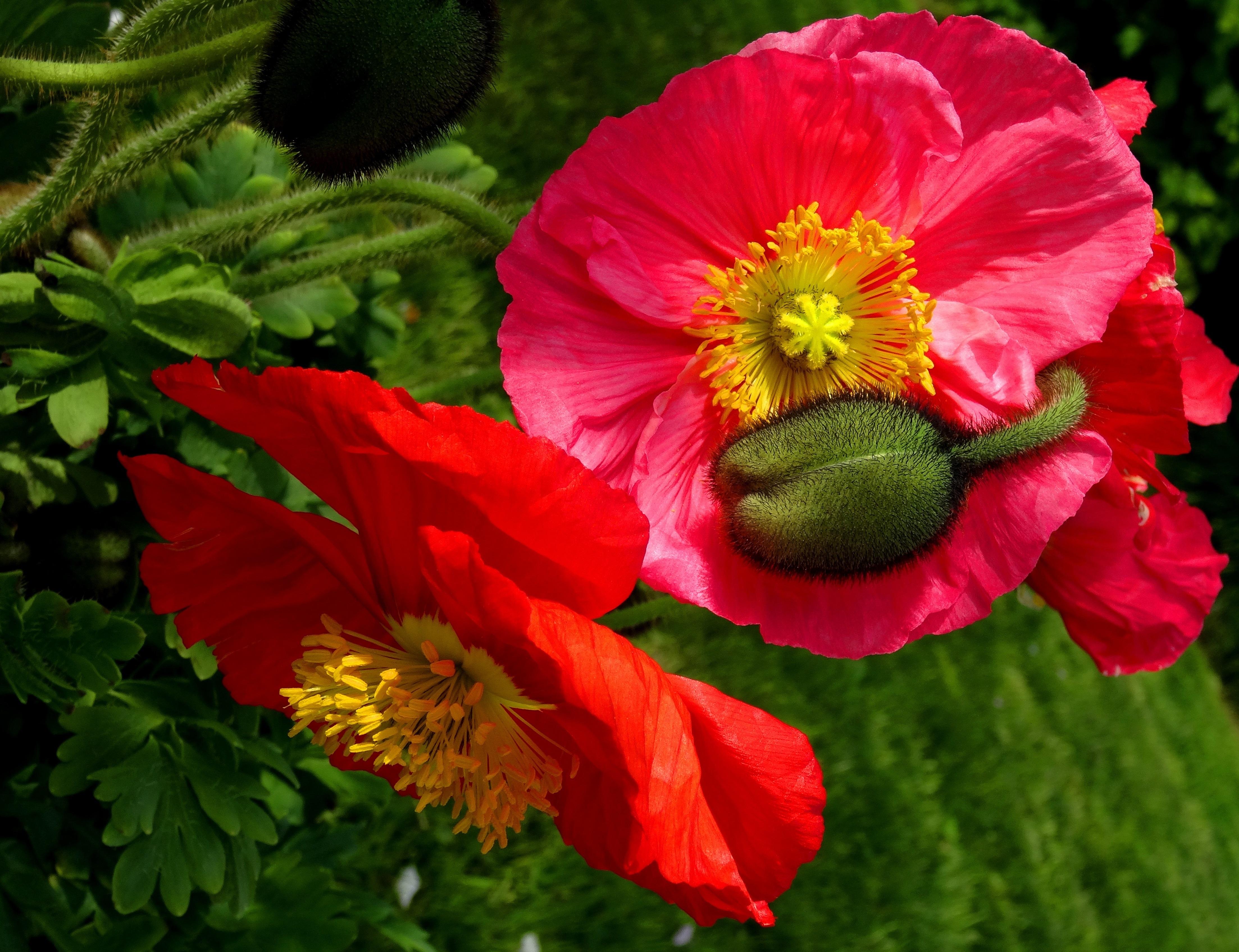 оладушки картинки с крупными цветами маки гозу растрёпанные