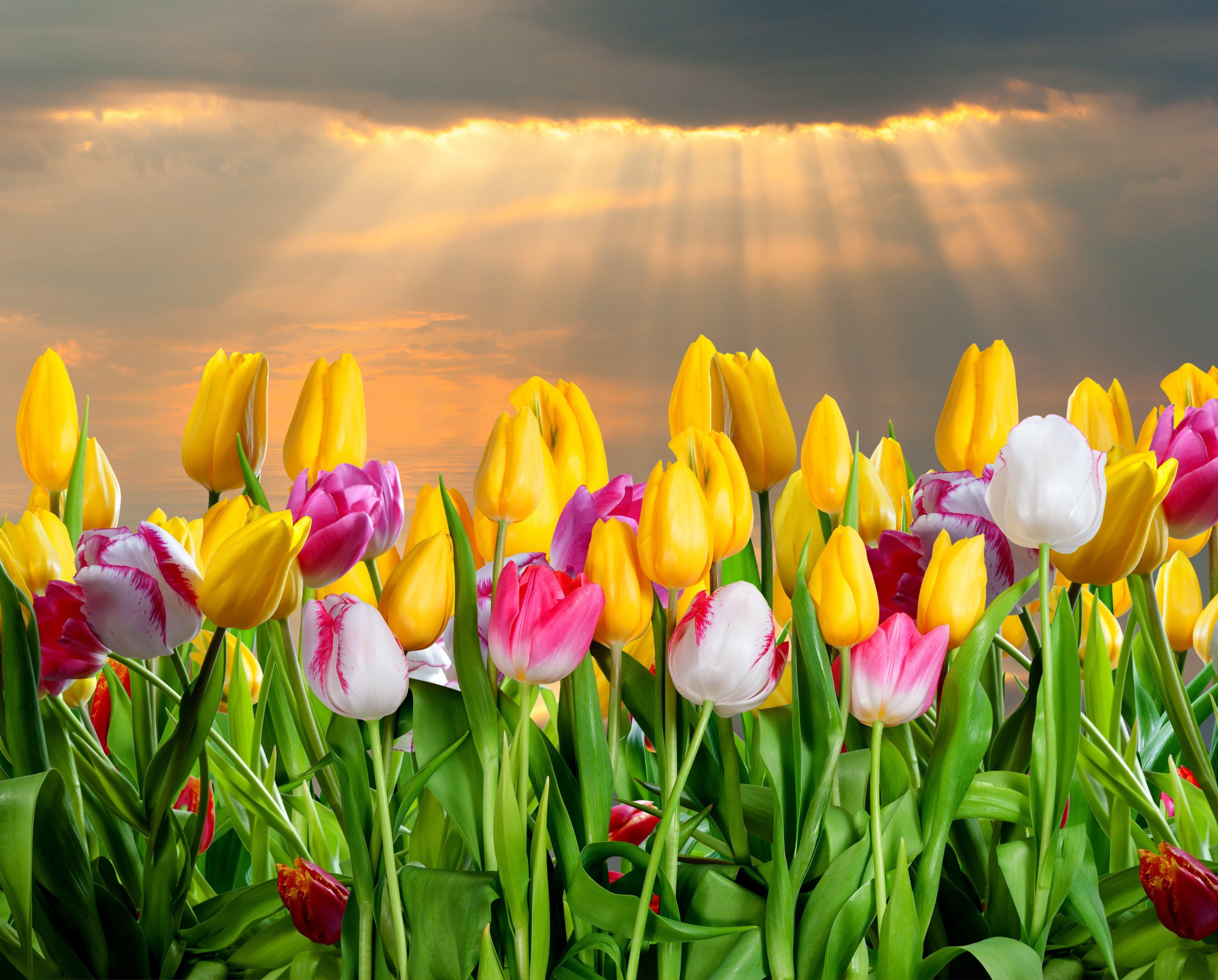 Картинки небо и тюльпаны