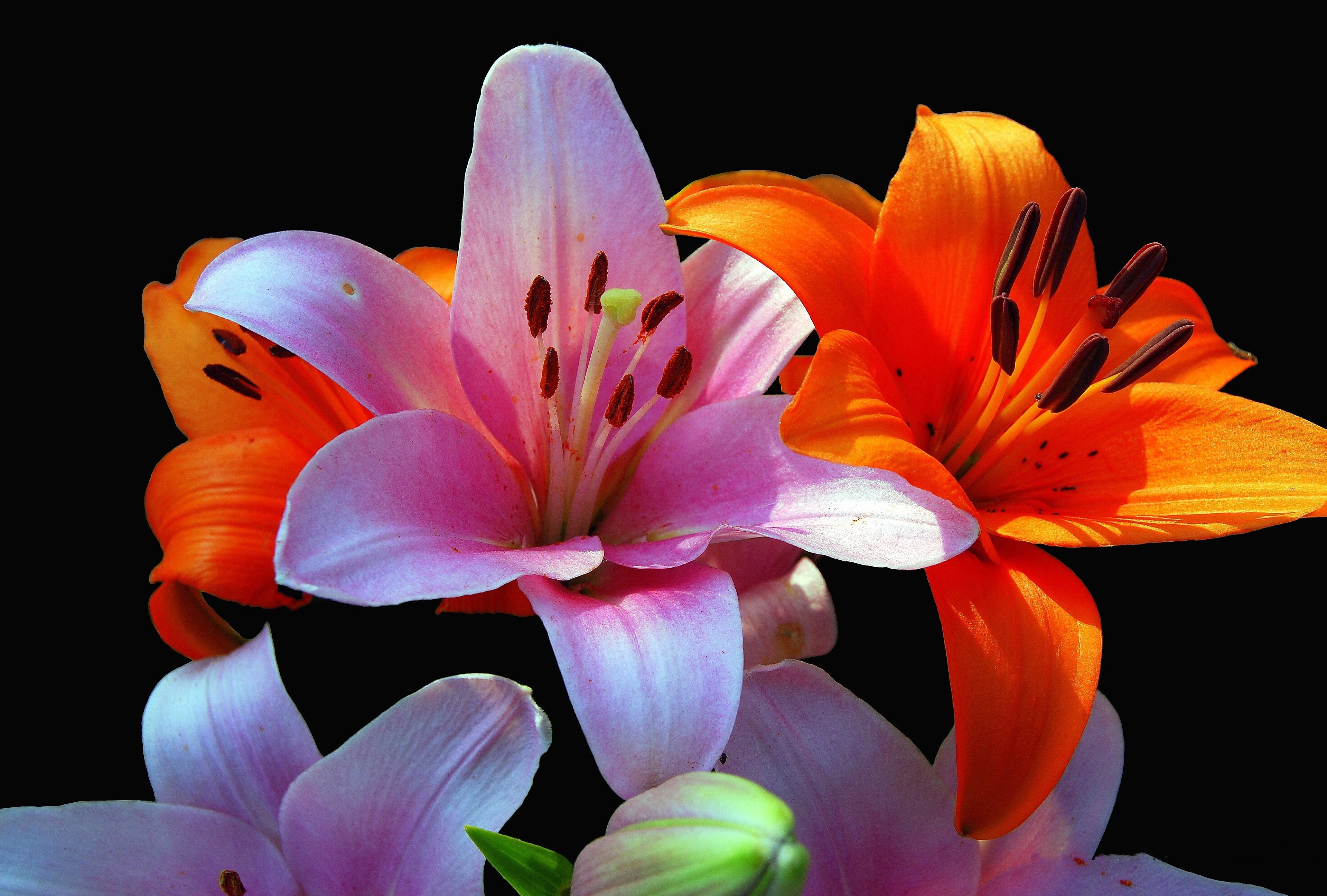 Деревне, красивые картинки с цветами лилии