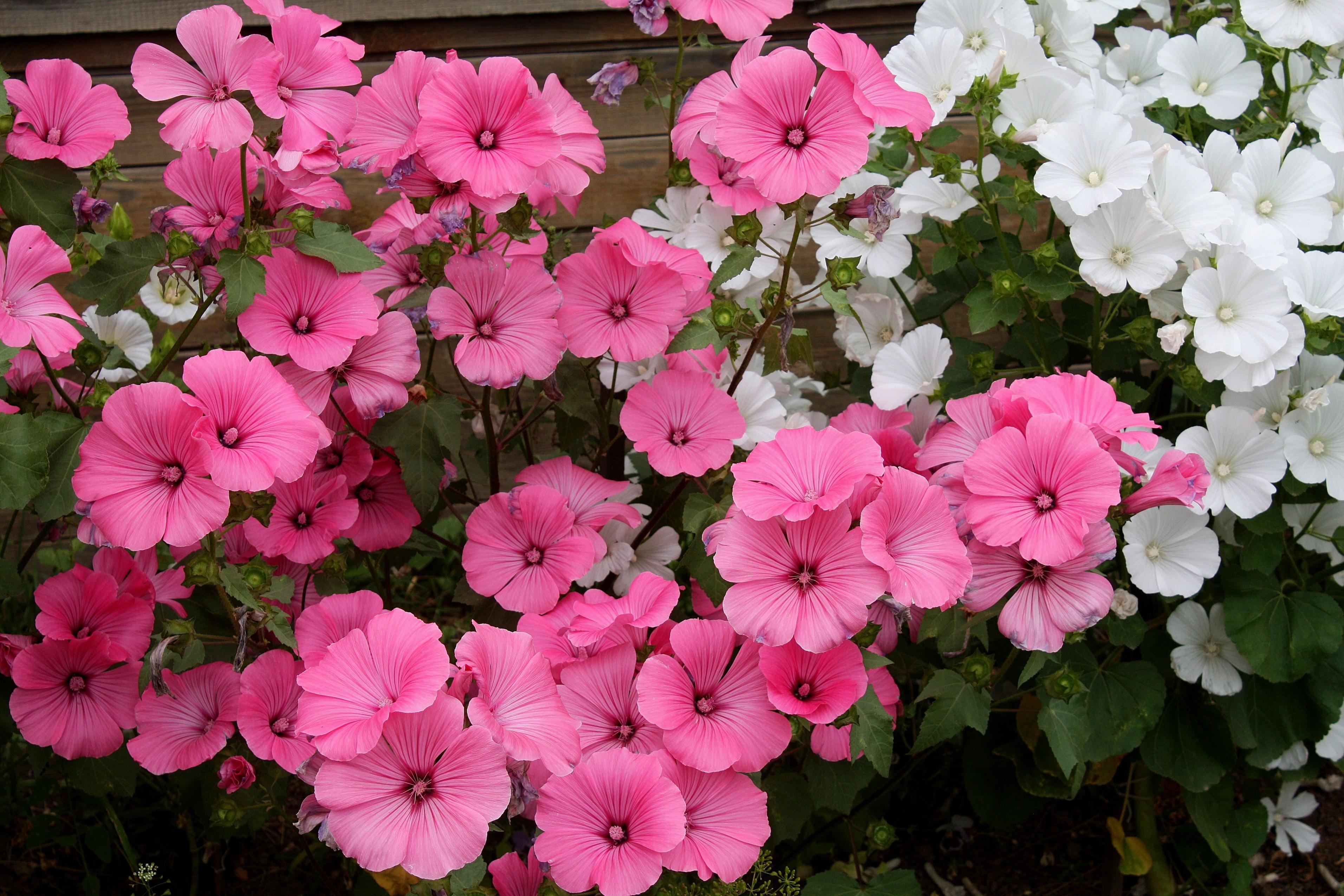 цветы лаватера фото жить общественном