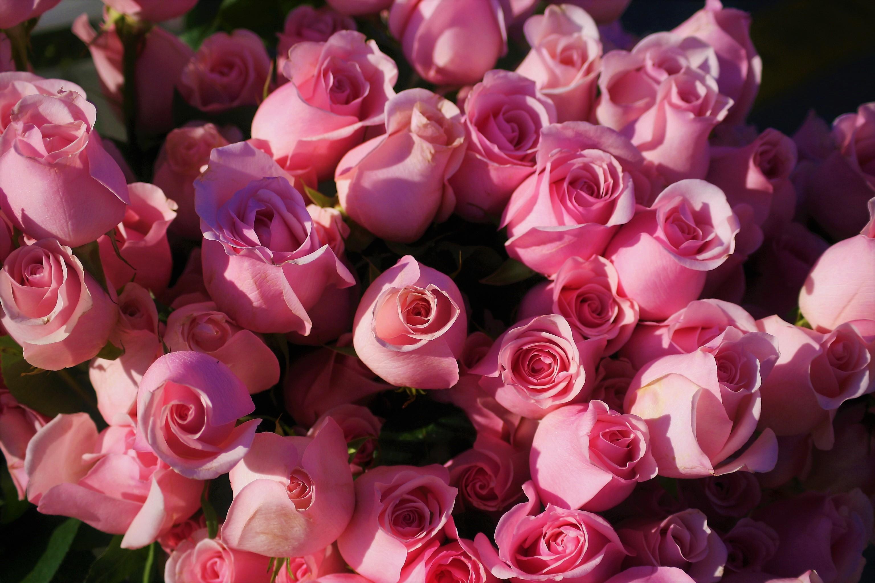 Картинки розы розового цвета
