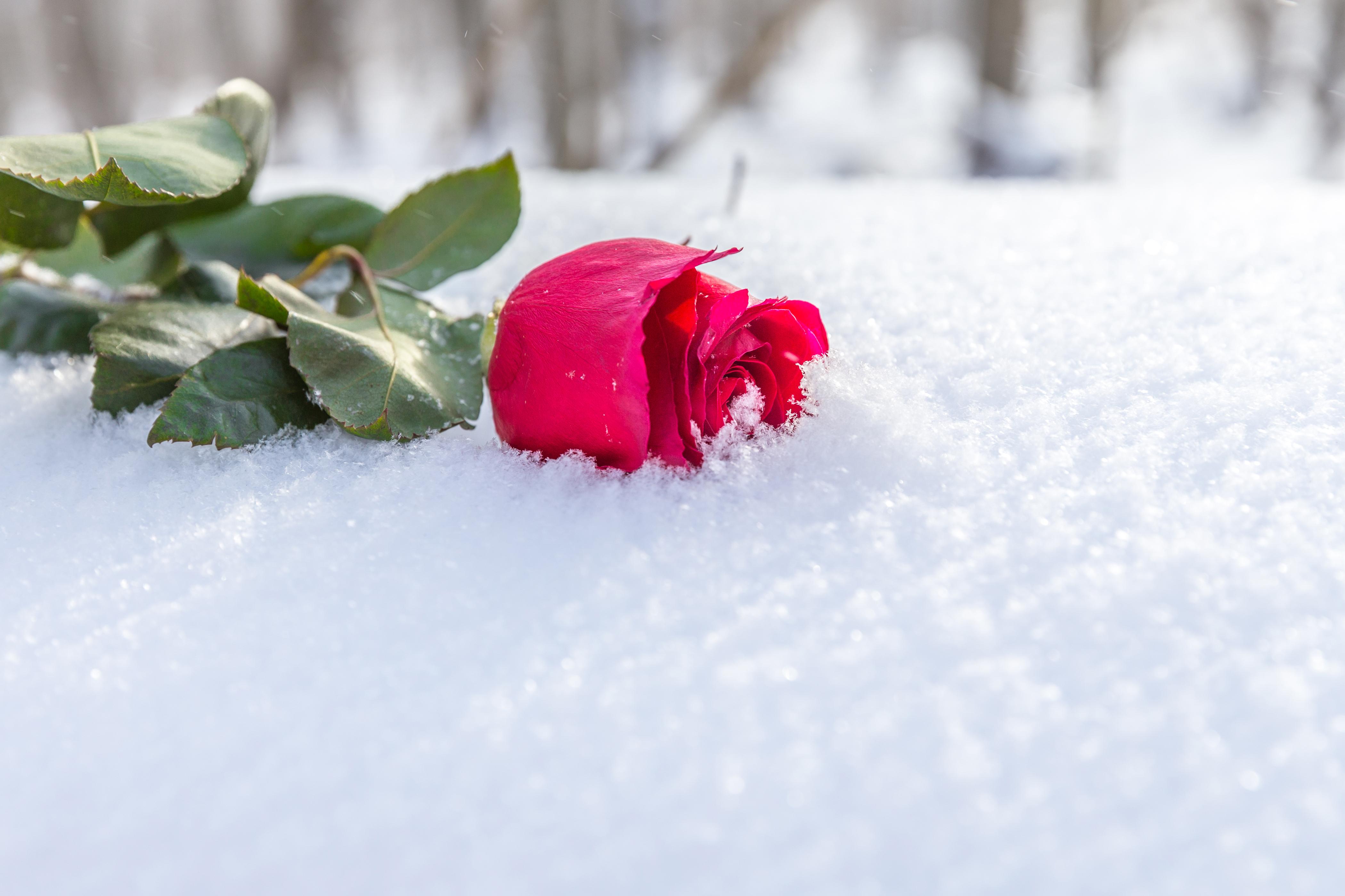 Открытки цветы в снегу