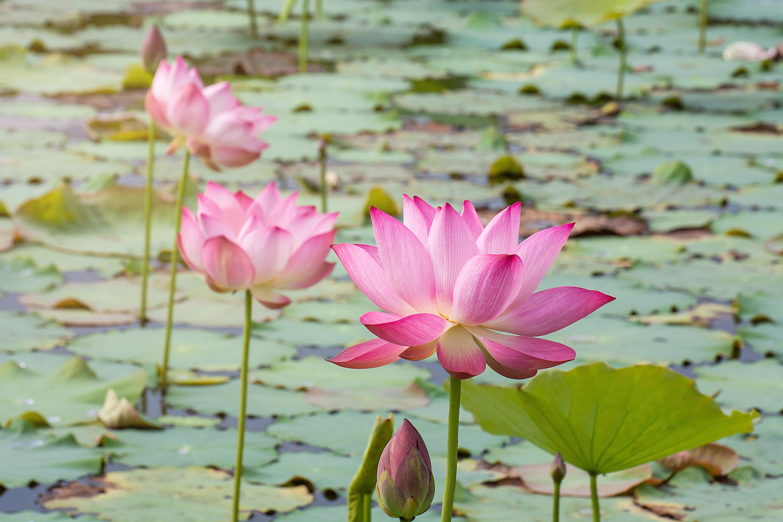 Картинки нежно-розовый лотос
