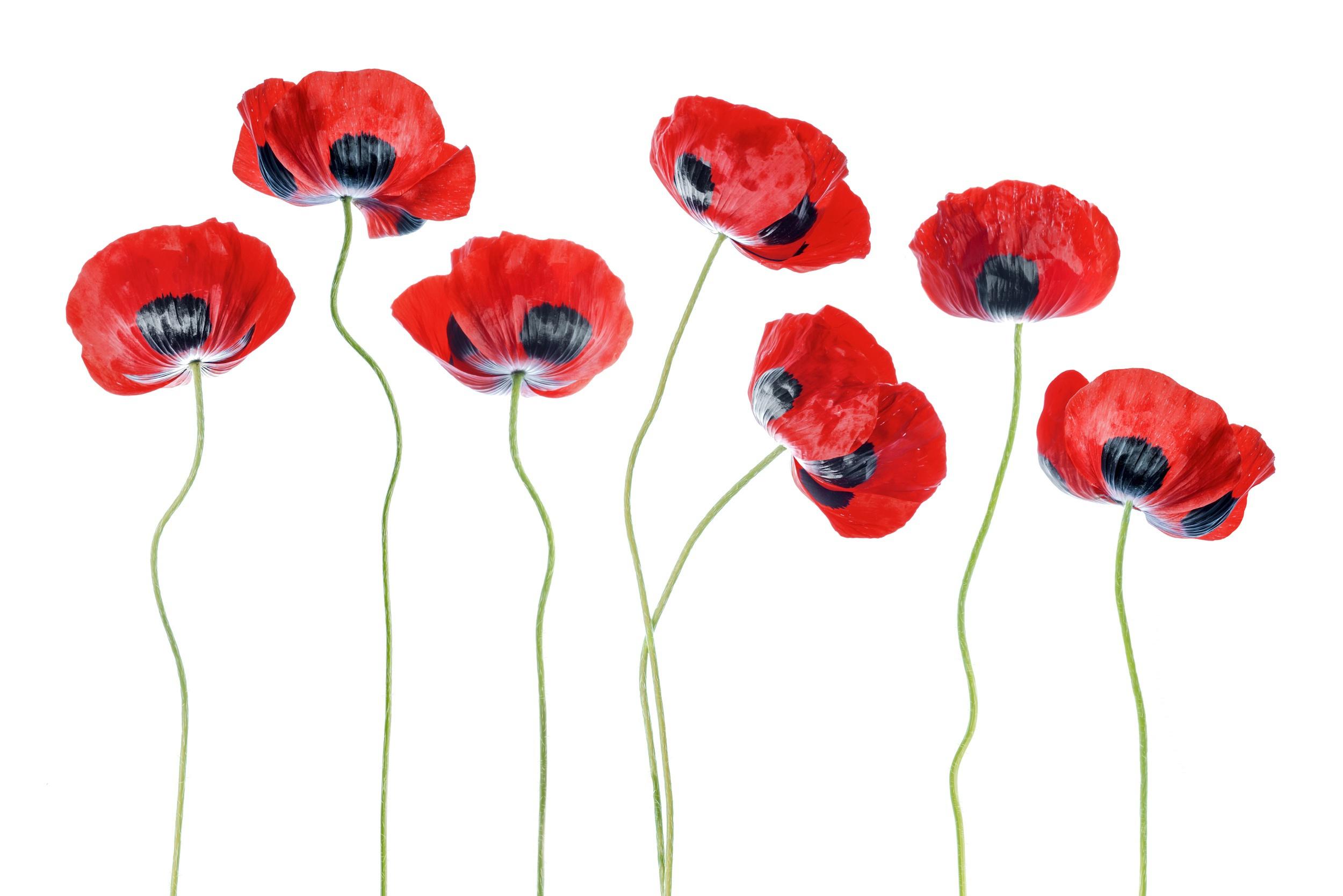 Аниме картинка цветок мак