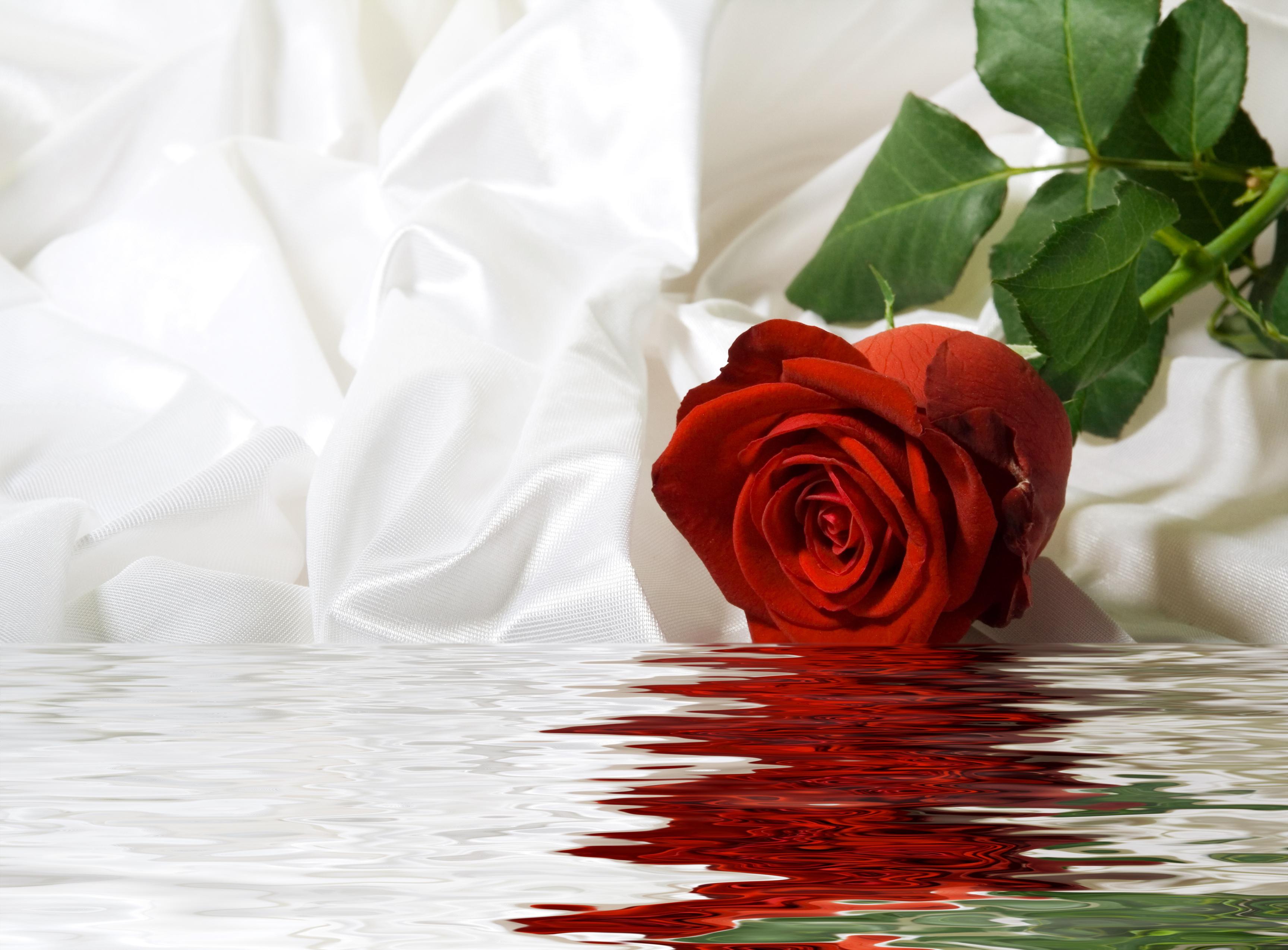 также фото красная белая роза на воде что причины возникновения