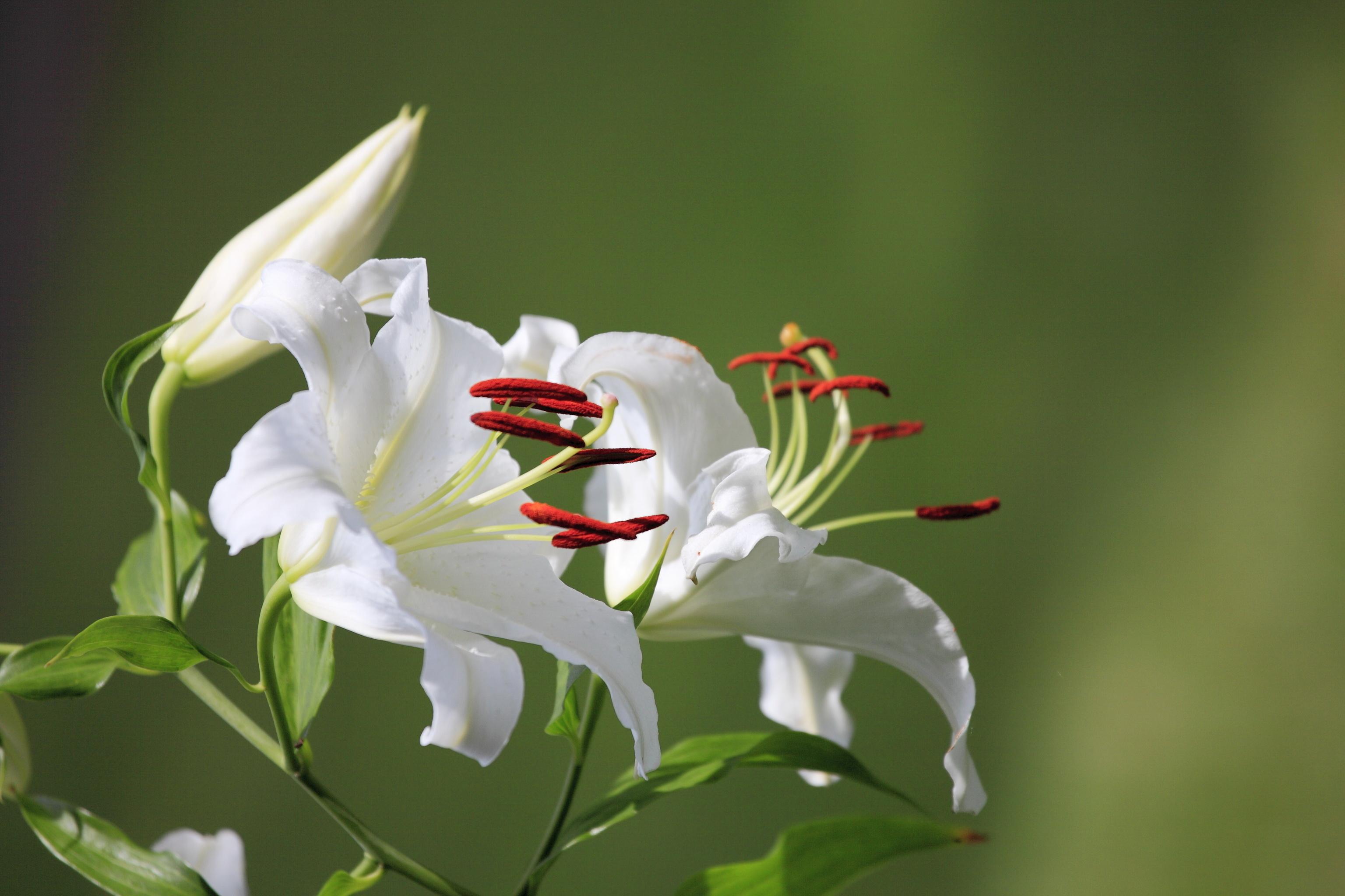 Картинки цветов лилии на рабочий стол