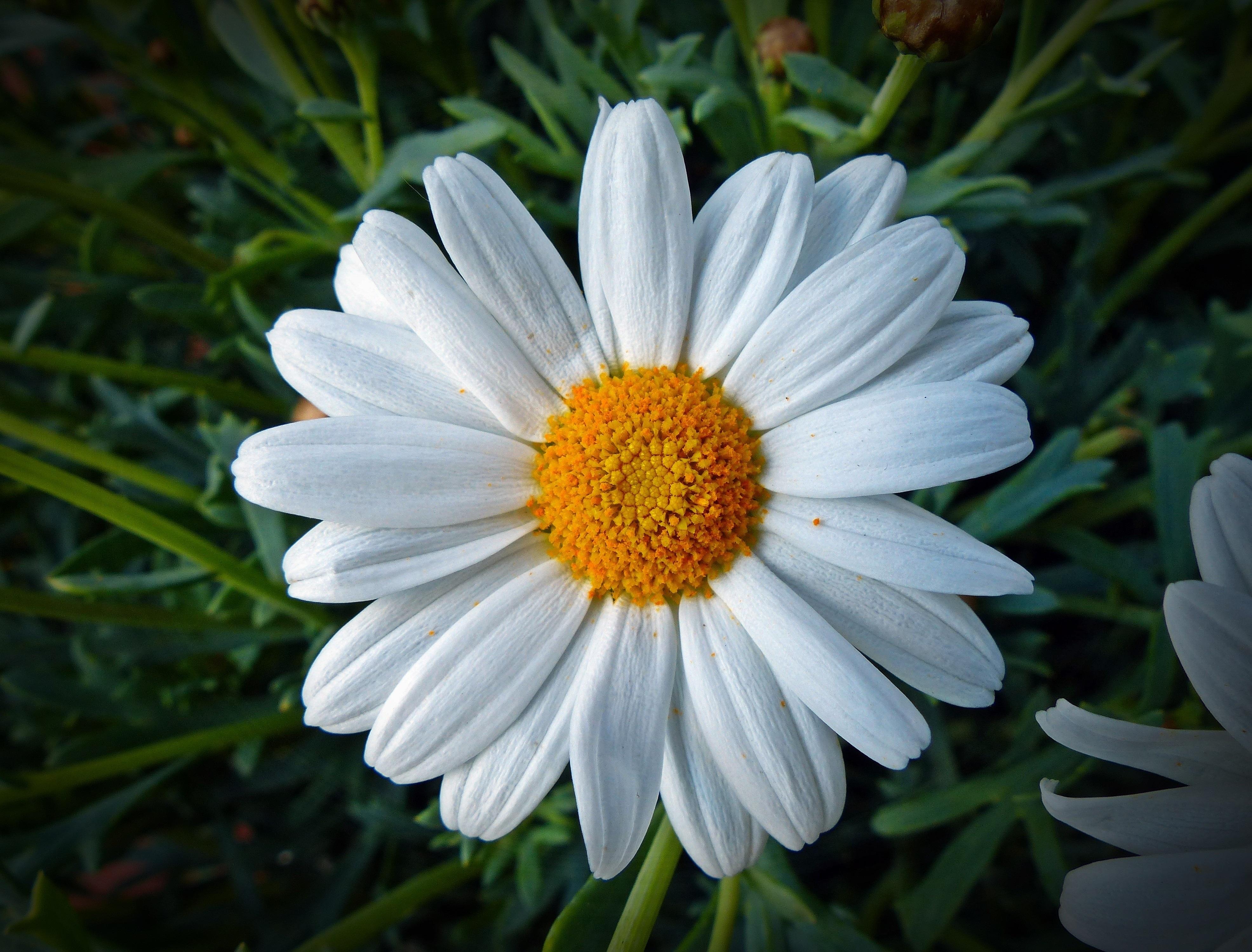 Картинки цветов ромашка, спасибо моя