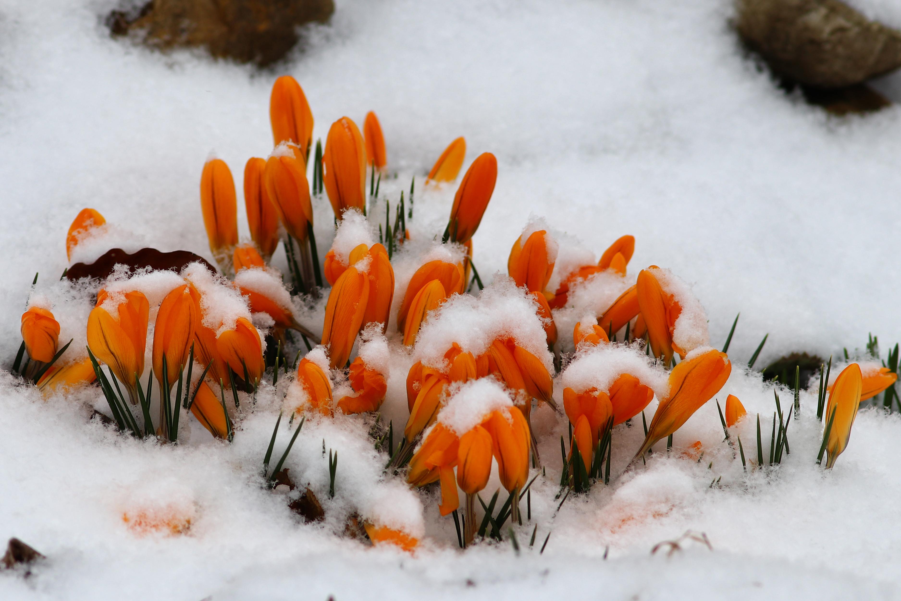 окончании открытки крокусы в снегу невидимого
