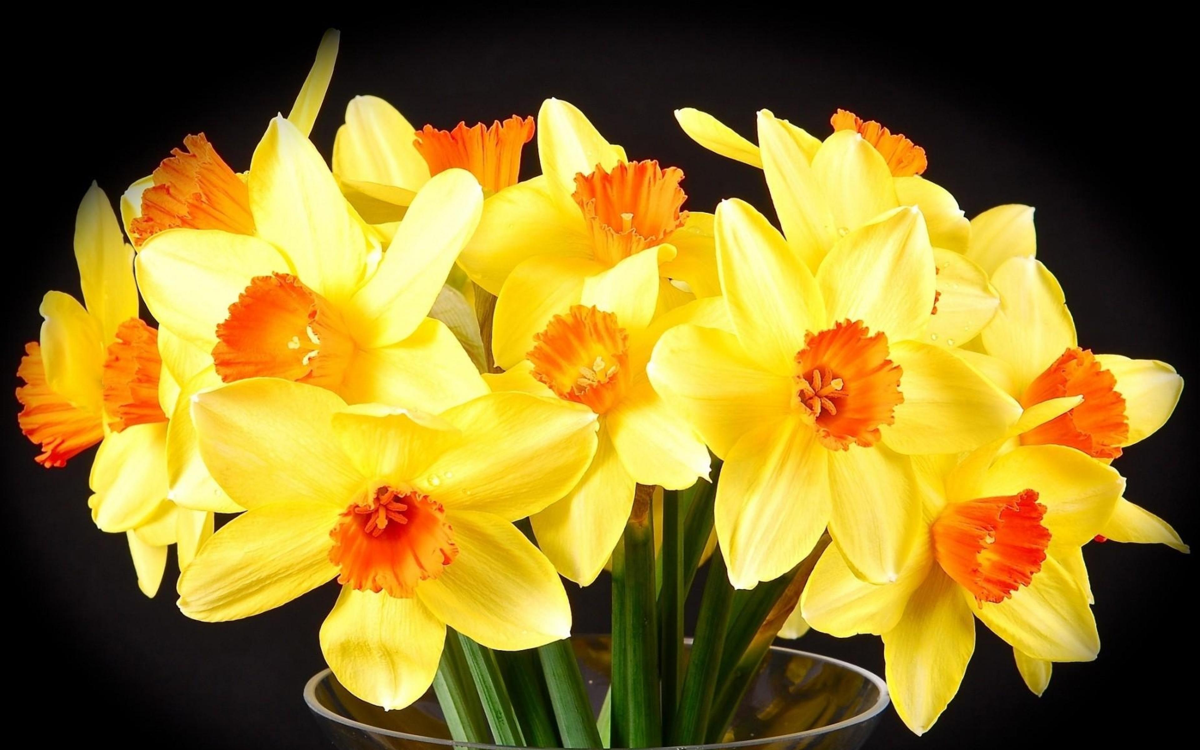 Цветы нарциссы картинки красивые
