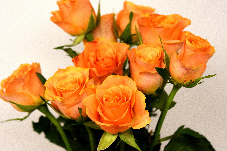 Картинки розы оранжевые цветы