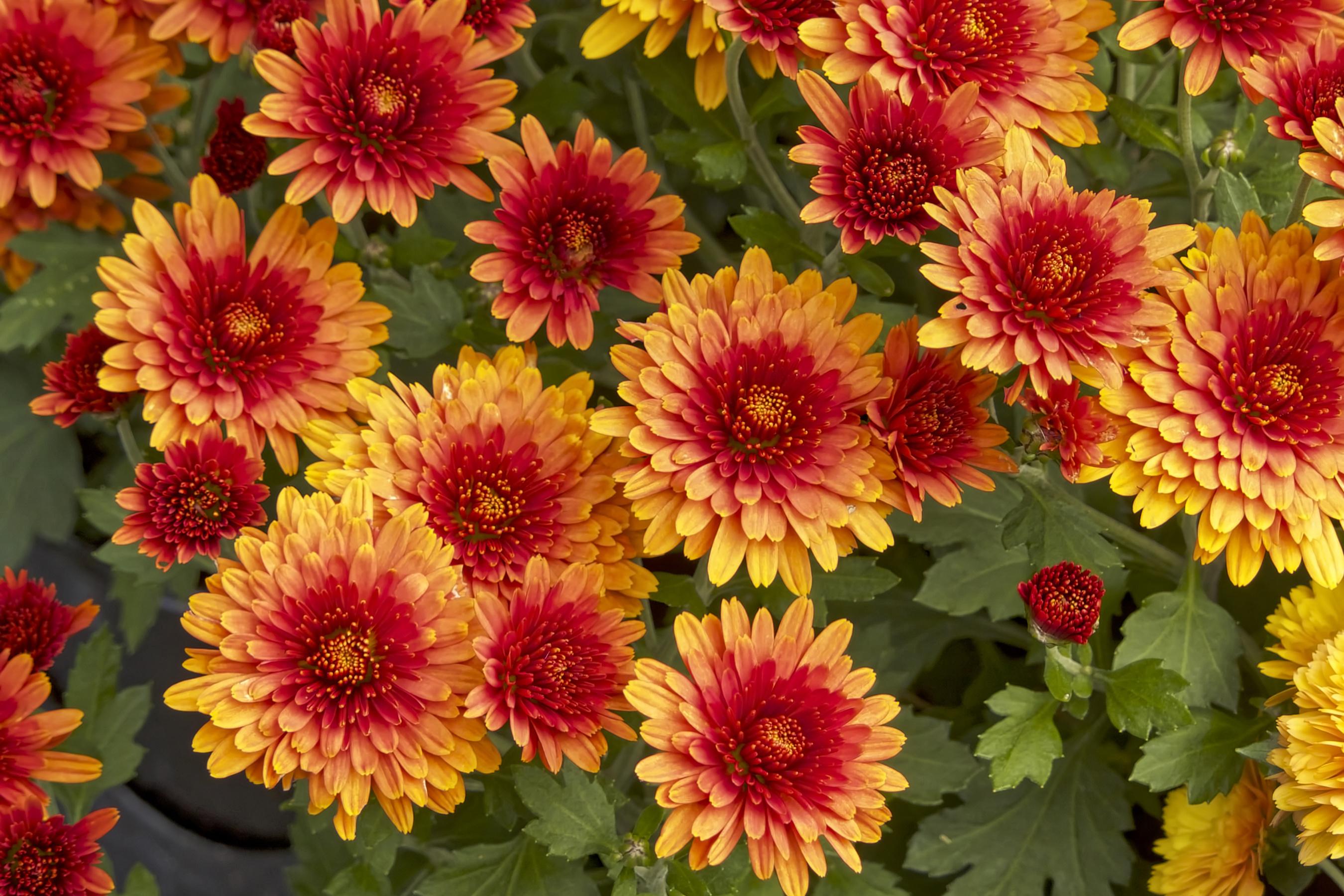 позволяет бывают ли красные хризантемы фото десен это