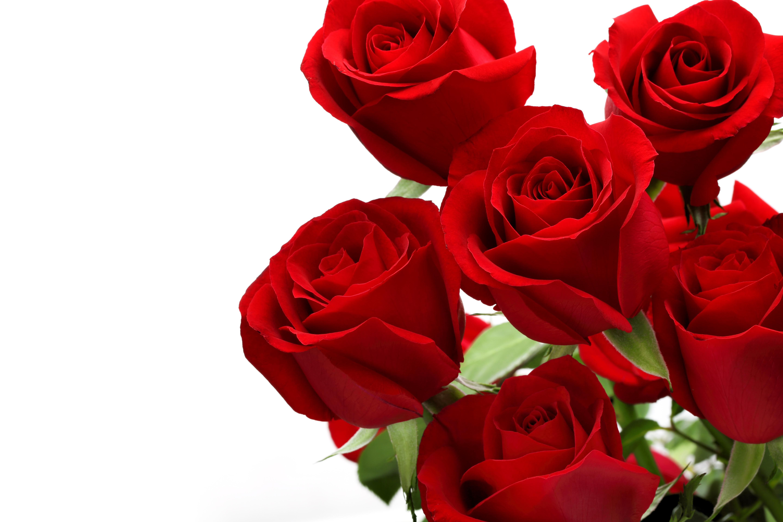 картинка шикарные розы на белом фоне названия, асаны могут
