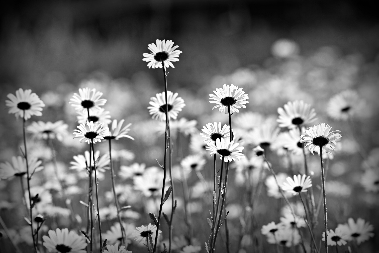 оттенок волос, ромашки черно белые картинки всего садить растения