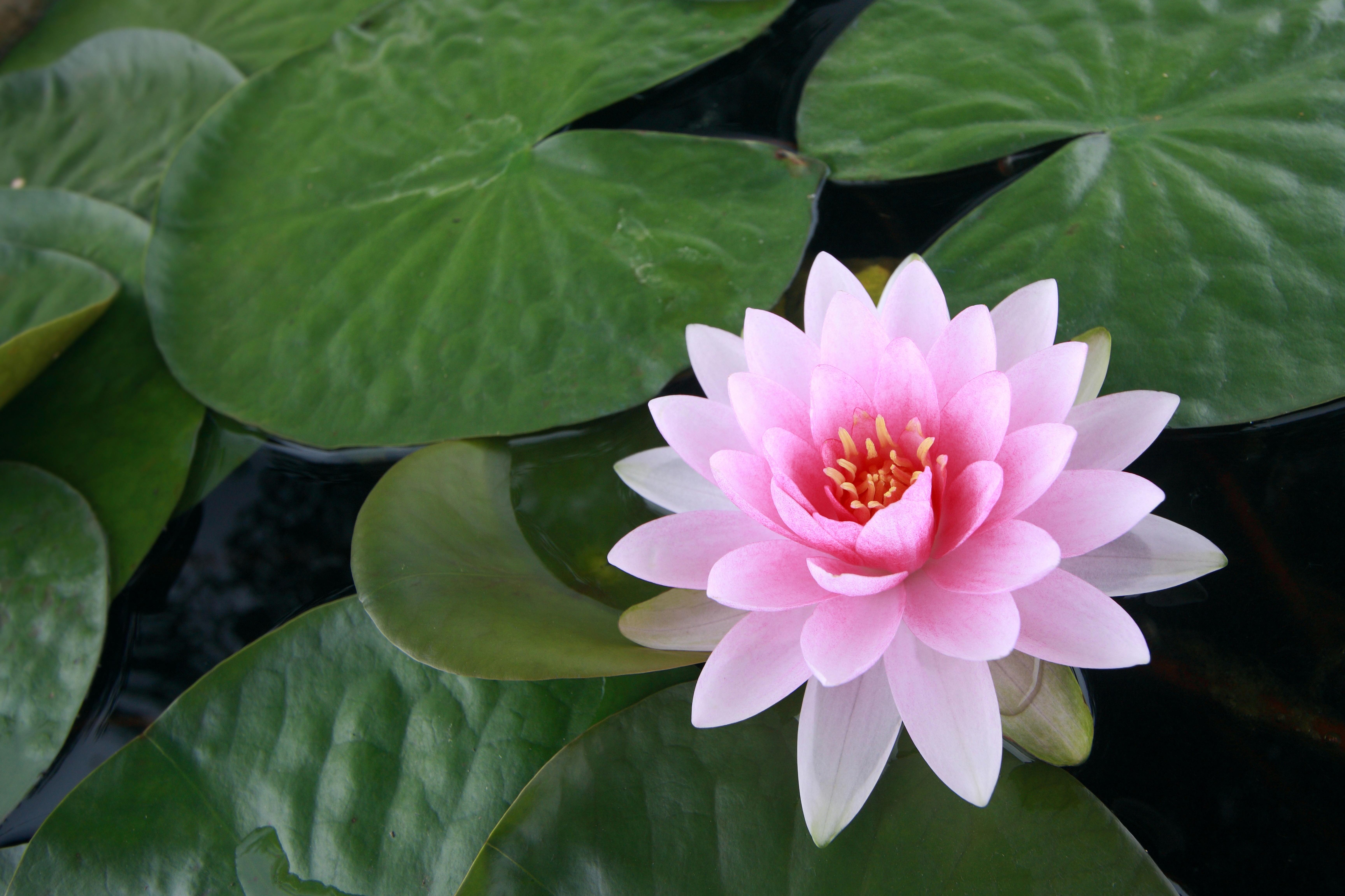 фото картинки фото цветка лотос пунктирных линий разовьют