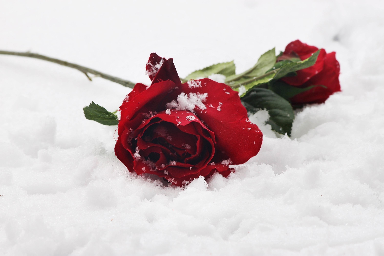 Красивые картинки розы в снегу, детьми марта